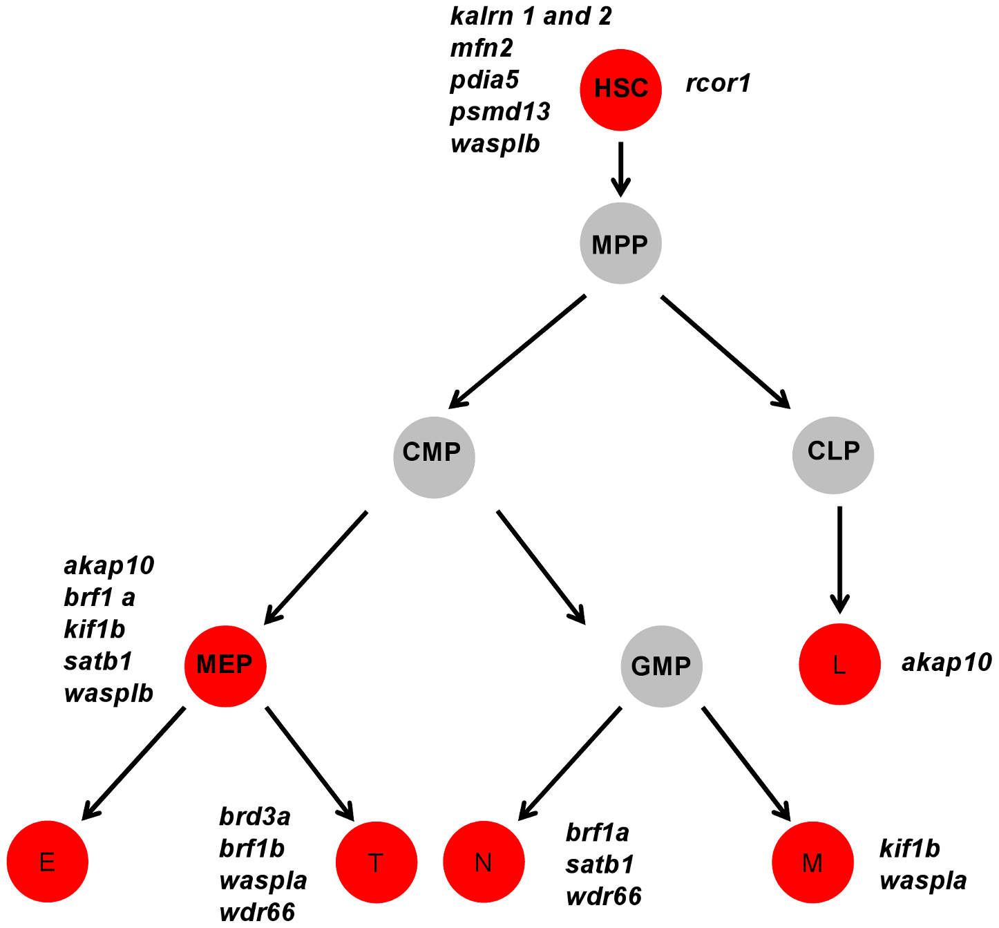 A cartoon model of the hematopoietic tree showing the stages most likely affected by candidate gene knockdown.
