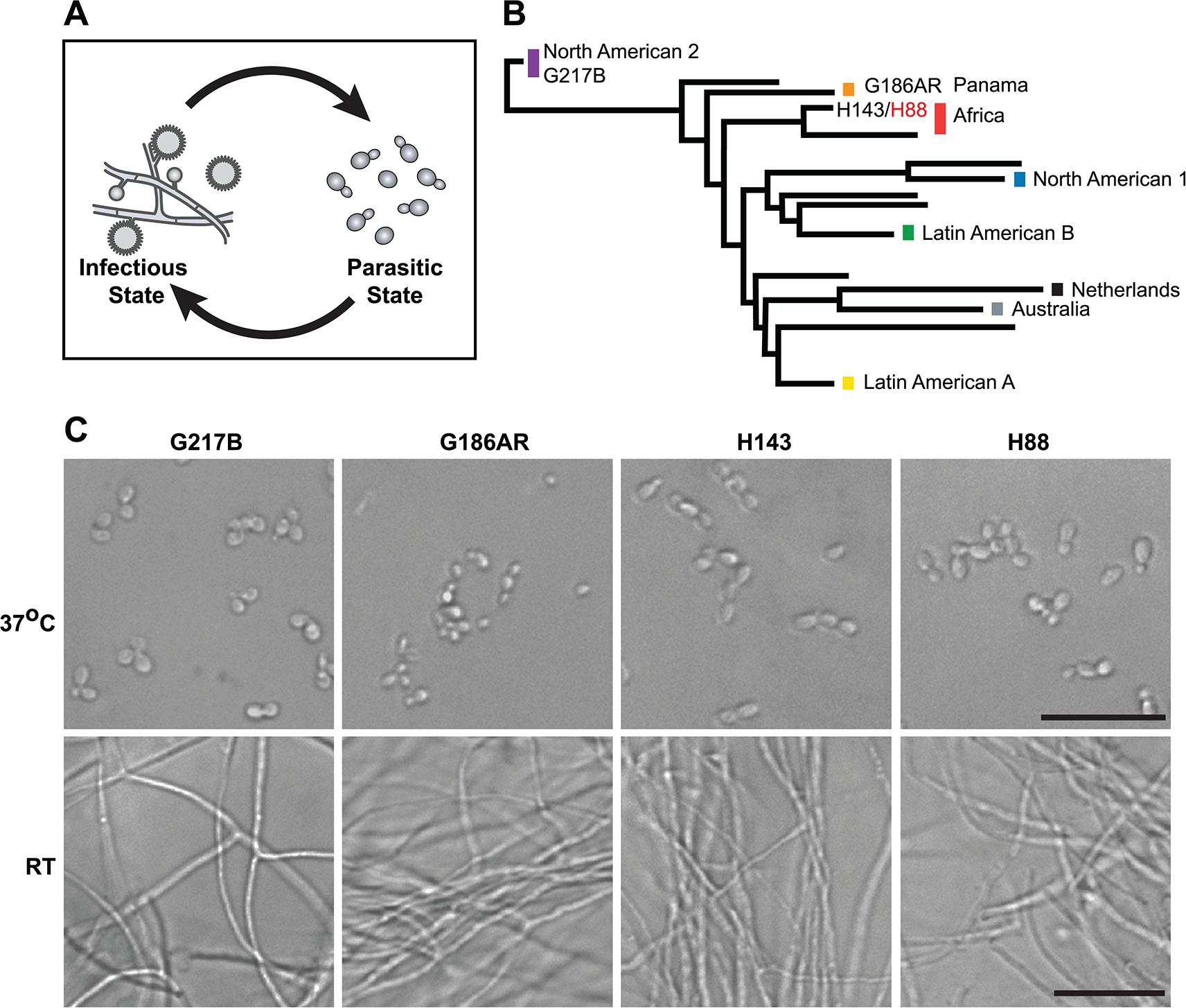 <i>Histoplasma</i> is a global human pathogen with distinct morphological states important for virulence.