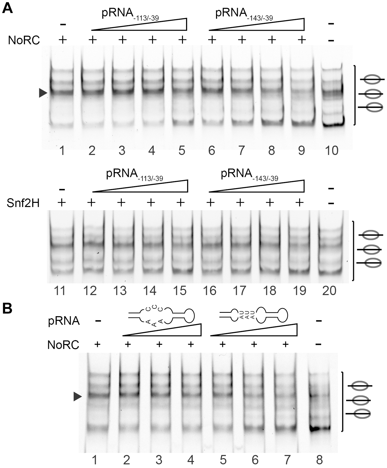 pRNA inhibits the activity of NoRC.