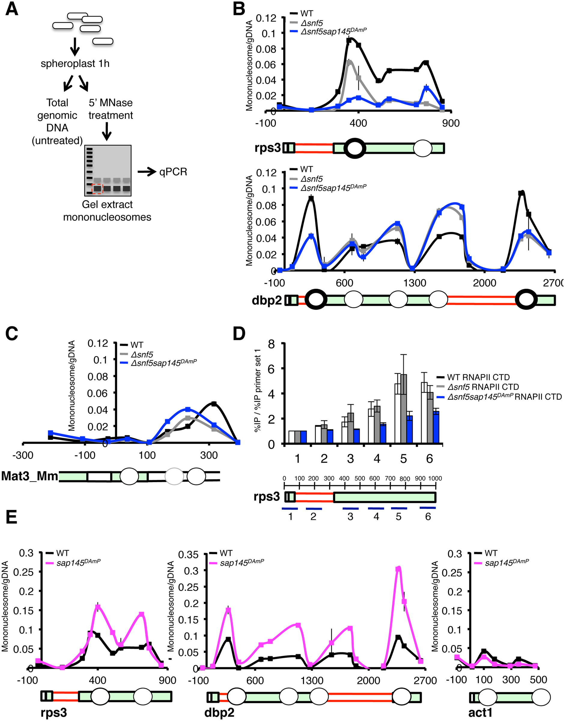 Nucleosome occupancy is altered at intron-containing genes by deletion of snf5 and overexpression of <i>sap145</i>.
