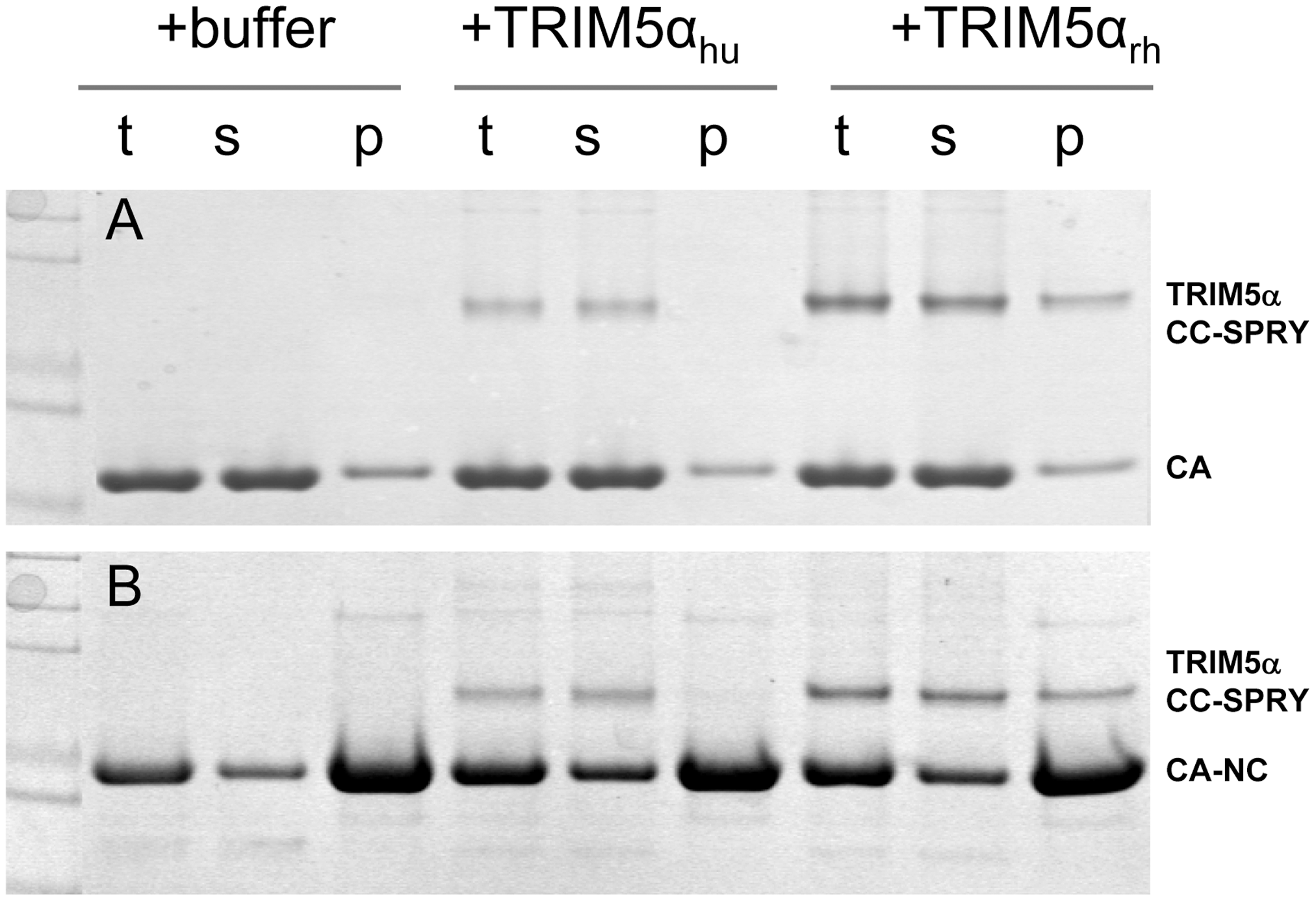 Binding of TRIM5α CC-SPRY to pre-assembled wild-type CA and CA-NC tubes.