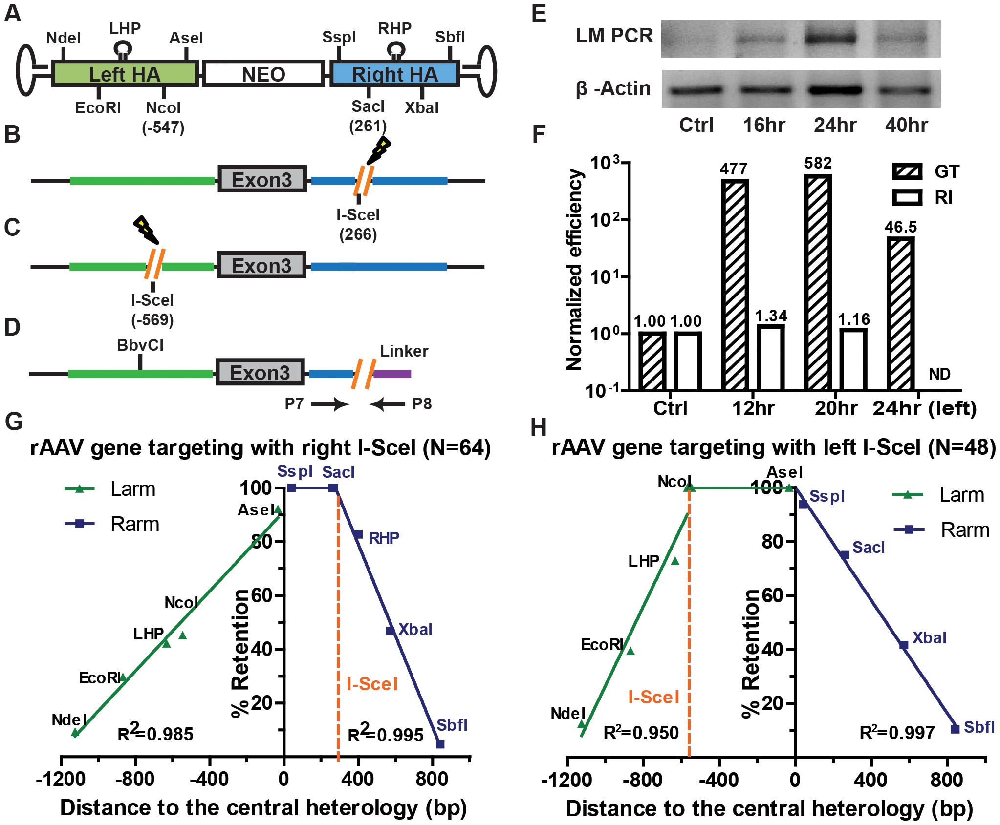 Chromosomal DSBs shift the SNP retention signature of rAAV gene targeting.