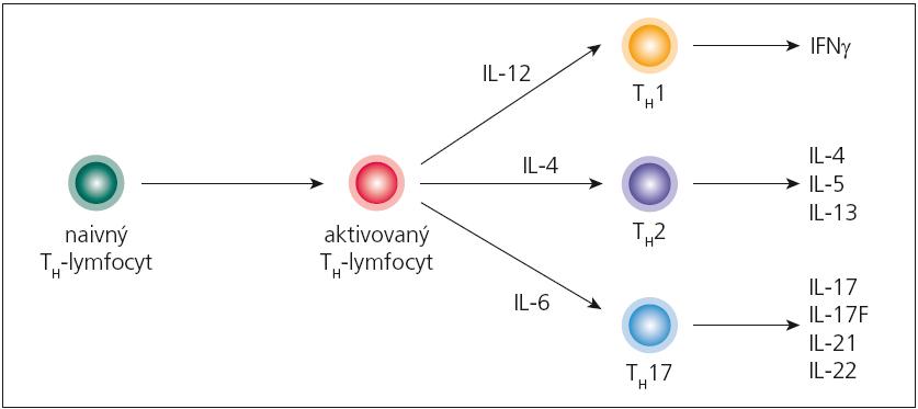 Diferenciácia naivných pomocných T-lymfocytov do jednotlivých subpopulácií. Pomocný T-lymfocyt (T<sub>H</sub>), ktorý opúšťa týmus, ešte nie je vydiferencovaný pre určitú špecifickú funkciu; označuje sa ako naivný (T<sub>H</sub>0). Špecializáciu získava až pri interakcii s bunkami prezentujúcimi antigén, ktoré podľa charakteru antigénu, ktorý spracúvajú, syntetizujú rozdielne cytokíny. Ak takýmto cytokínom je IL-12, naivný T<sub>H</sub>-lymfocyt sa bude diferencovať do subpopulácie T<sub>H</sub>1, ak IL-4, tak vzniká subpopulácia T<sub>H</sub>2, a napokon ak sa v mikroprostredí nachádza IL-1 alebo IL-6, diferenciácia ide do línie T<sub>H</sub>17.