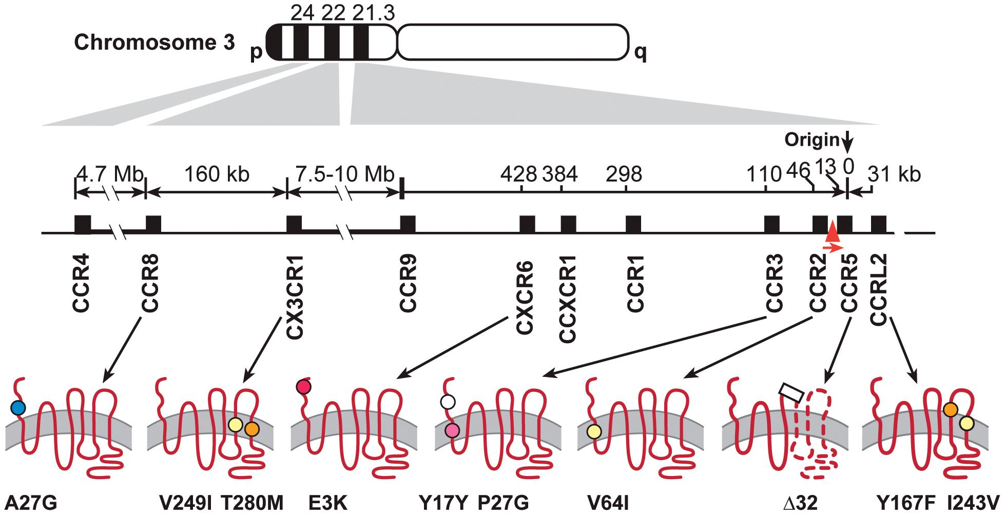 Polymorphisms in seven chemokine receptor genes on the Chromosome 3p21–22.