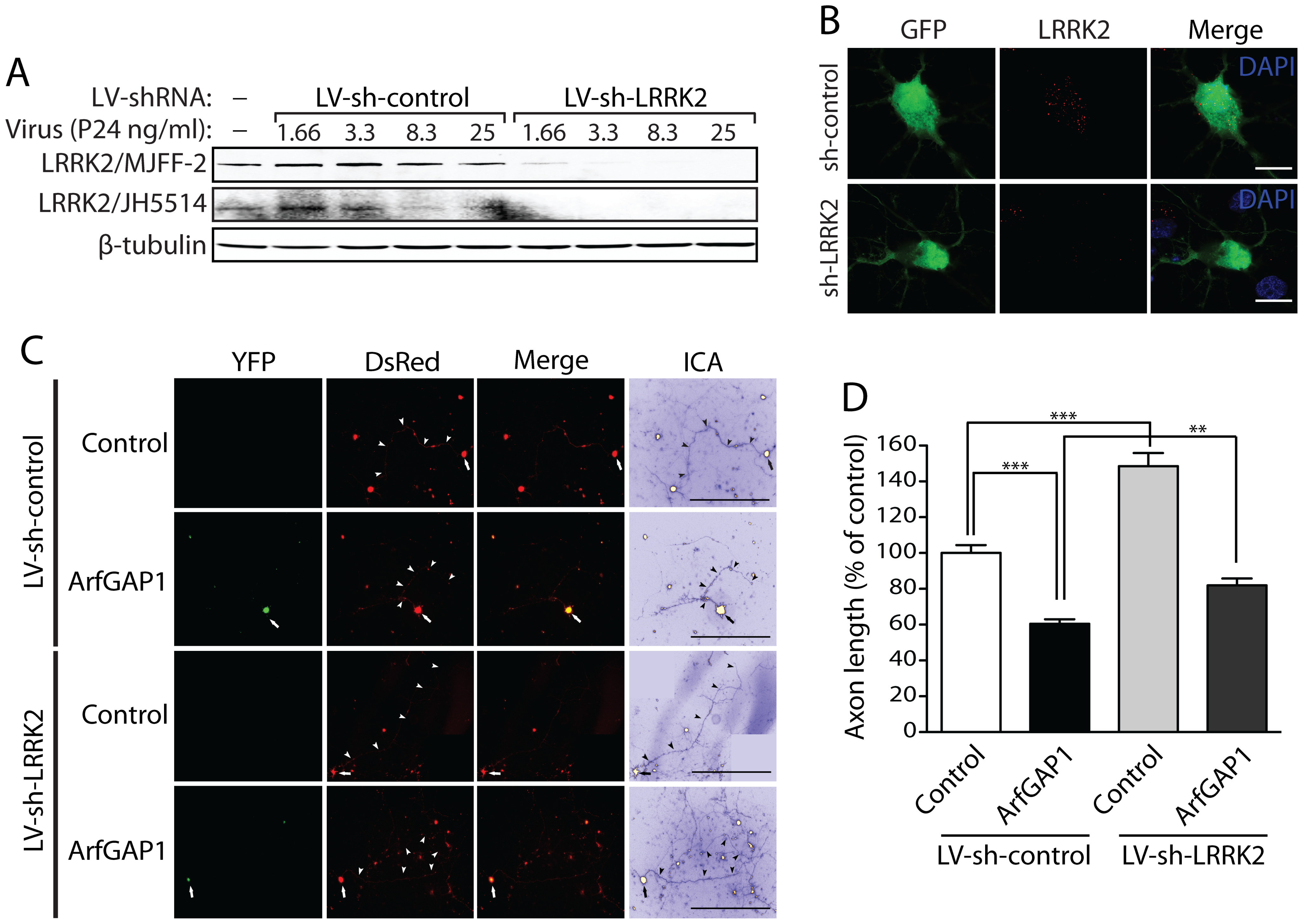 Silencing of LRRK2 expression rescues ArfGAP1-induced neurite shortening.
