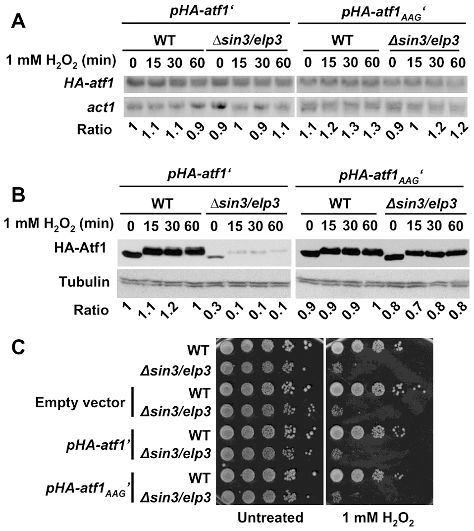 Expression of a synthetic AAA-to-AAG <i>atf1</i> gene rendered wild-type Atf1 protein levels in Elongator mutants.