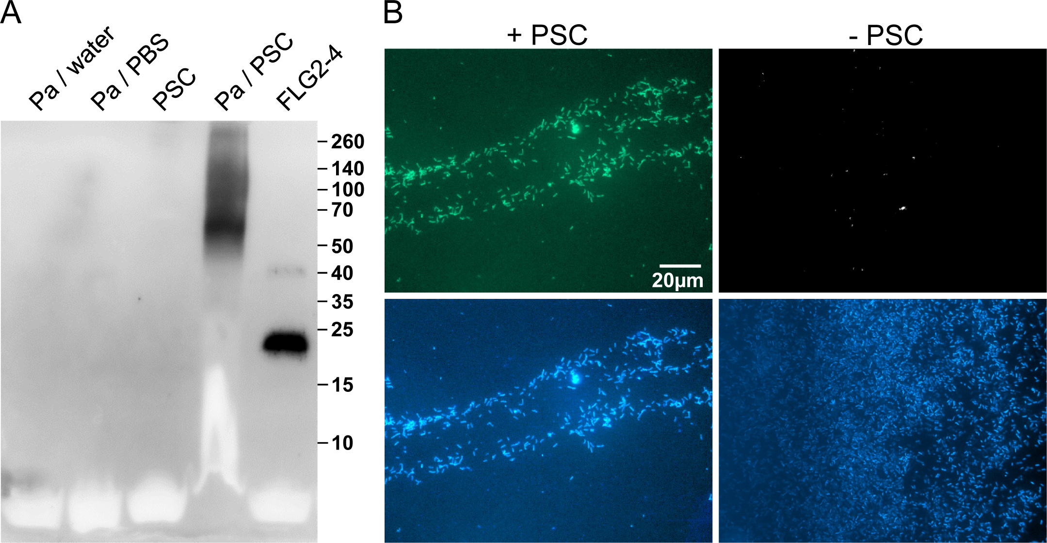 <i>P</i>. <i>aeruginosa</i> released and accumulated FLG2-4 immunoreactivity from plantar stratum corneum.