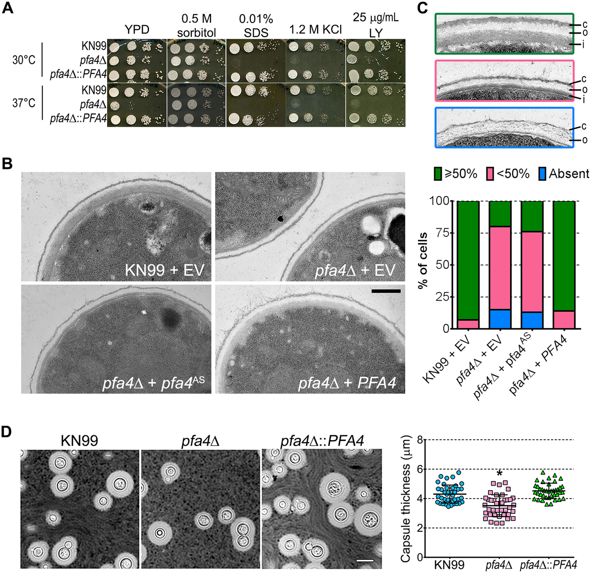 <i>pfa4</i>Δ has defects in cell wall integrity and structure.