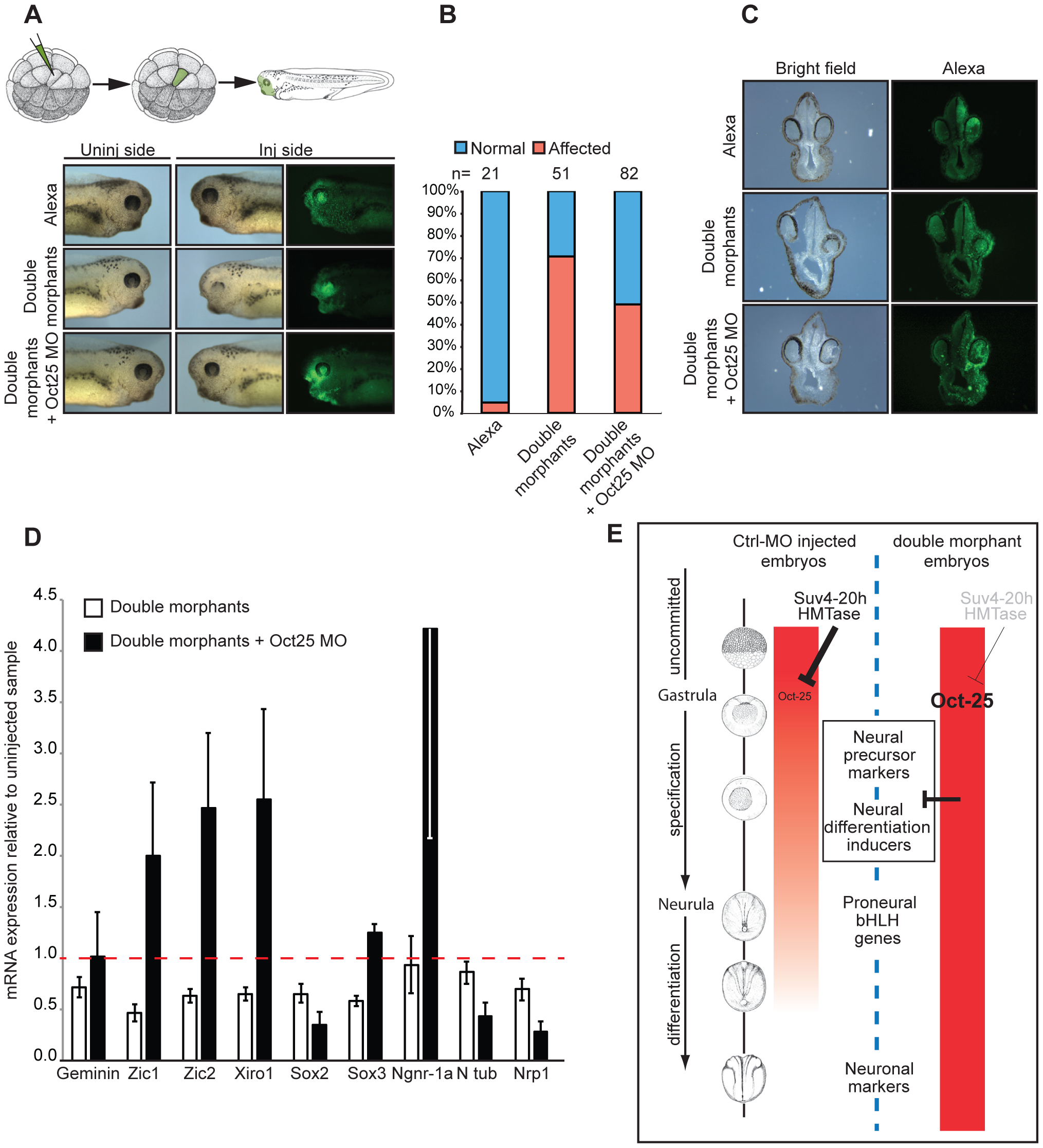 Oct-25 knockdown in double-morphant embryos rescues xSuv4-20h phenotypes.