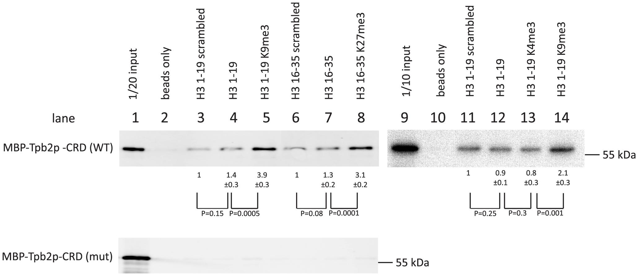 In vitro histone peptide-binding assay.