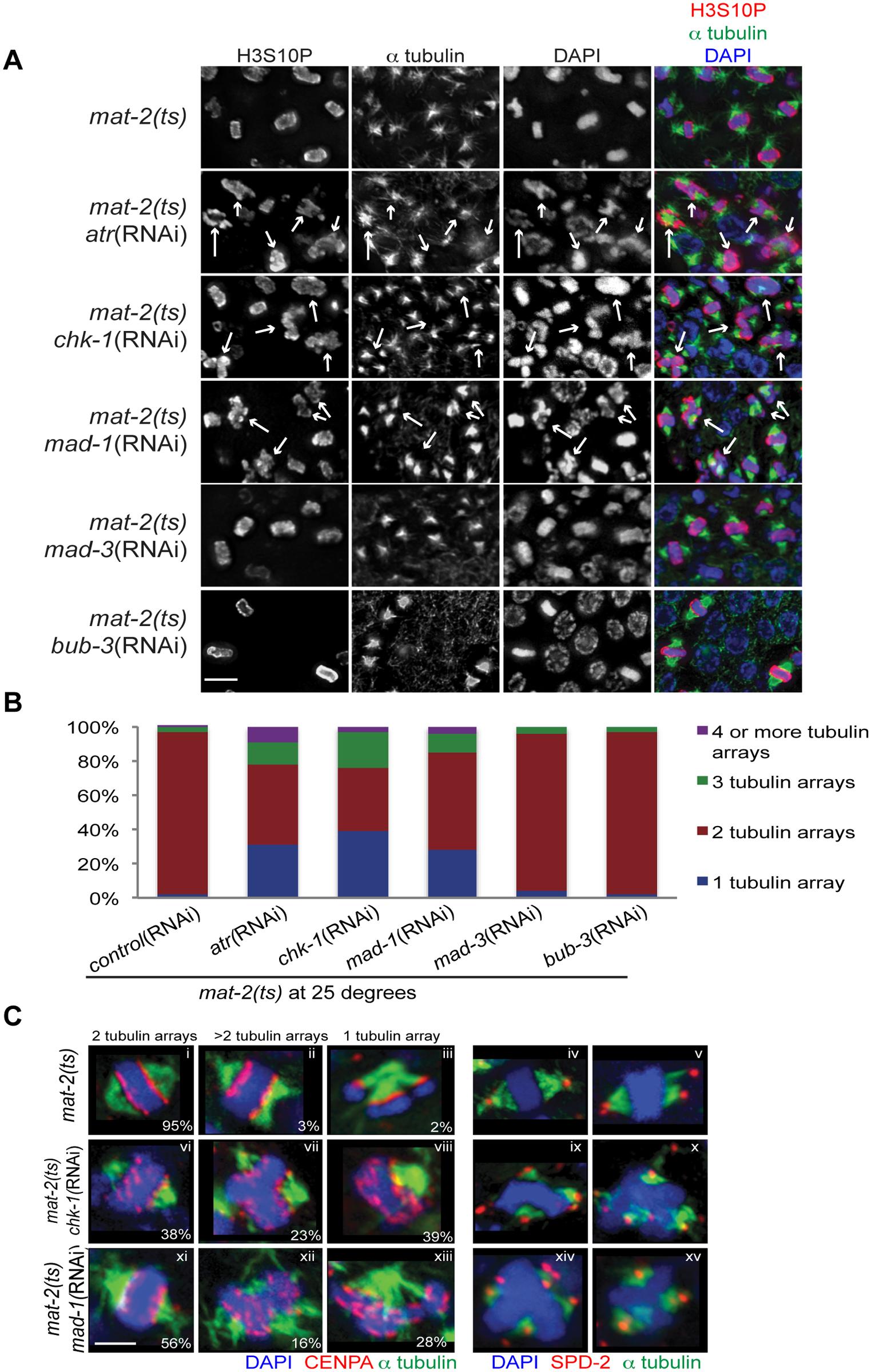 Both DDR and SAC depletion lead to aberrant spindles and DNA morphology during metaphase arrest.