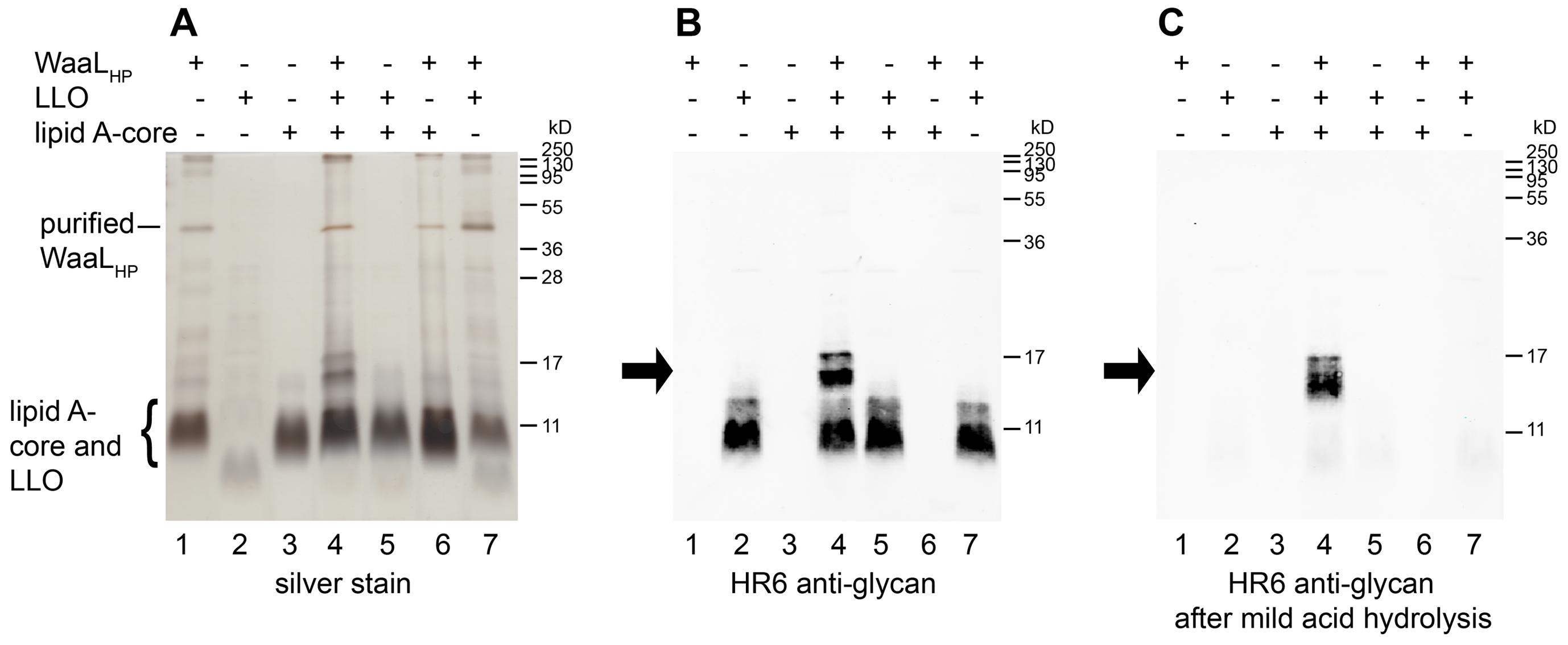 Demonstration of WaaL<sub>HP</sub> activity <i>in vitro</i>.