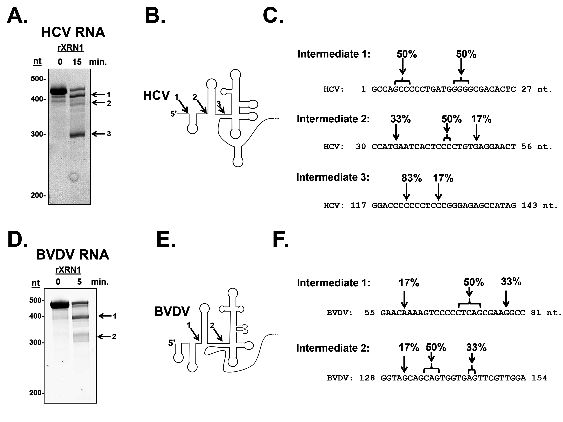 Determination of the 5' ends of the HCV and BVDV 5' UTR XRN1-mediated decay intermediates.
