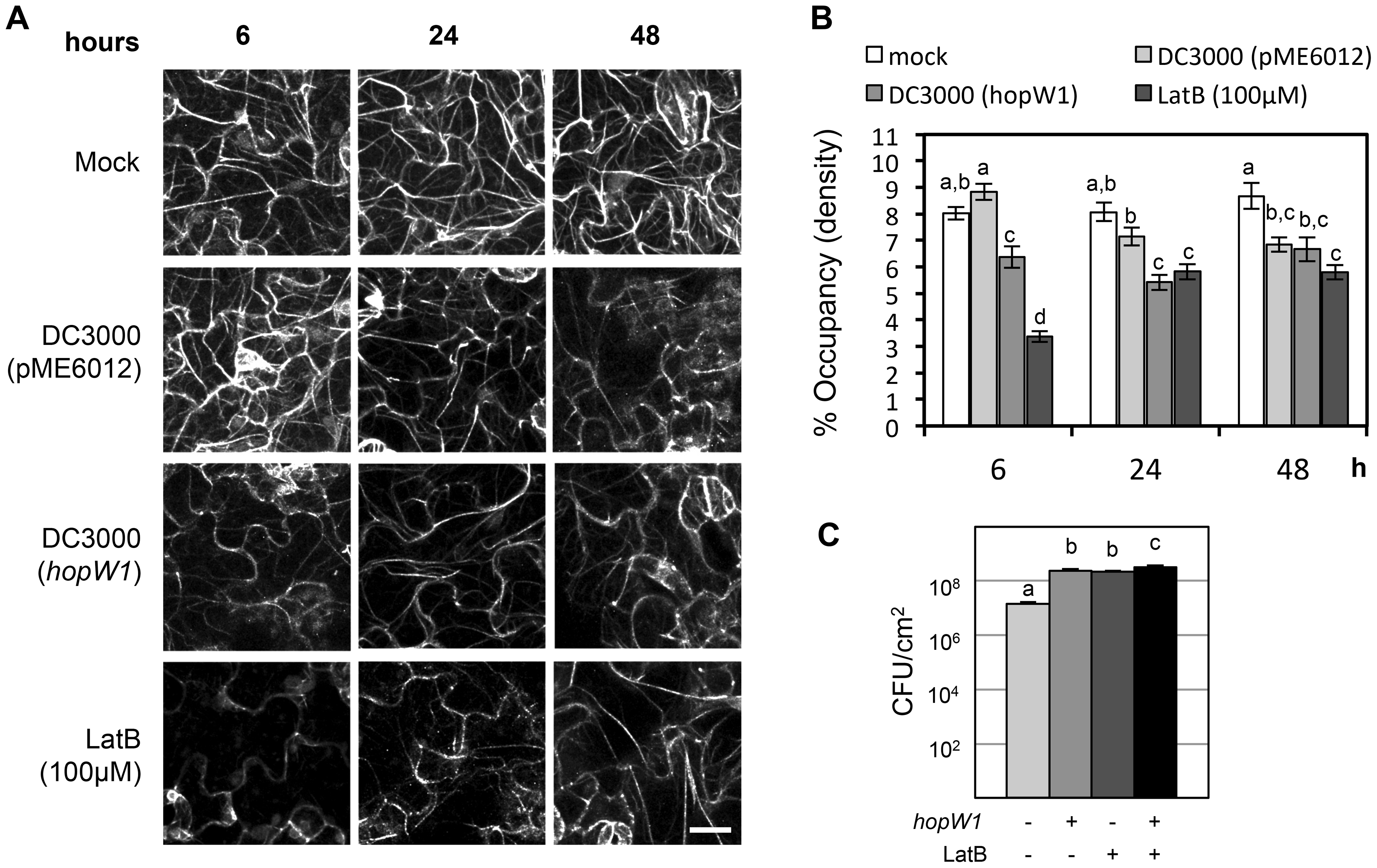 HopW1 disrupts the actin cytoskeleton during infection and promotes <i>Pto</i>DC3000 growth on Arabidopsis.