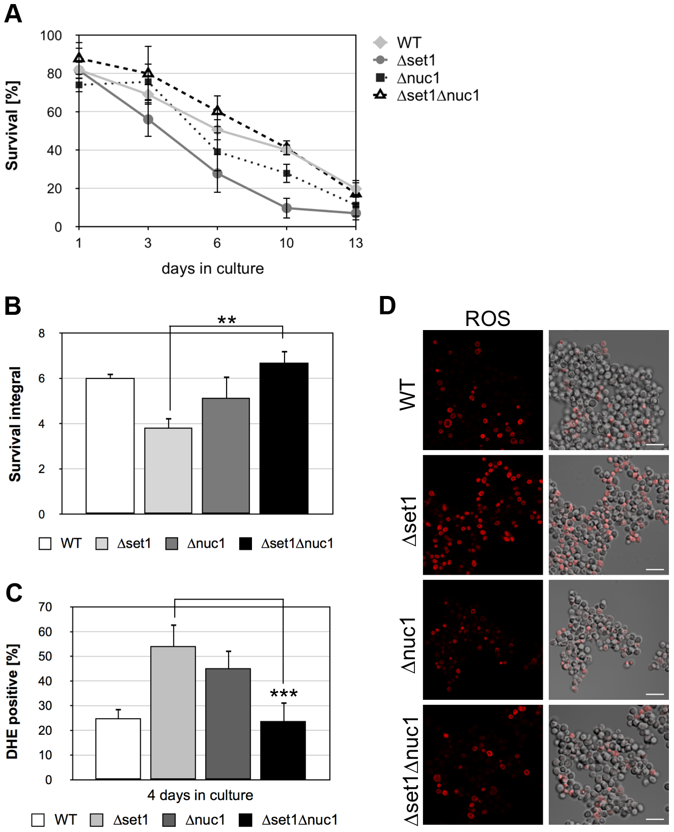 <i>NUC1</i> disruption hampers apoptosis onset and improves viability of yeast cells lacking Set1p.