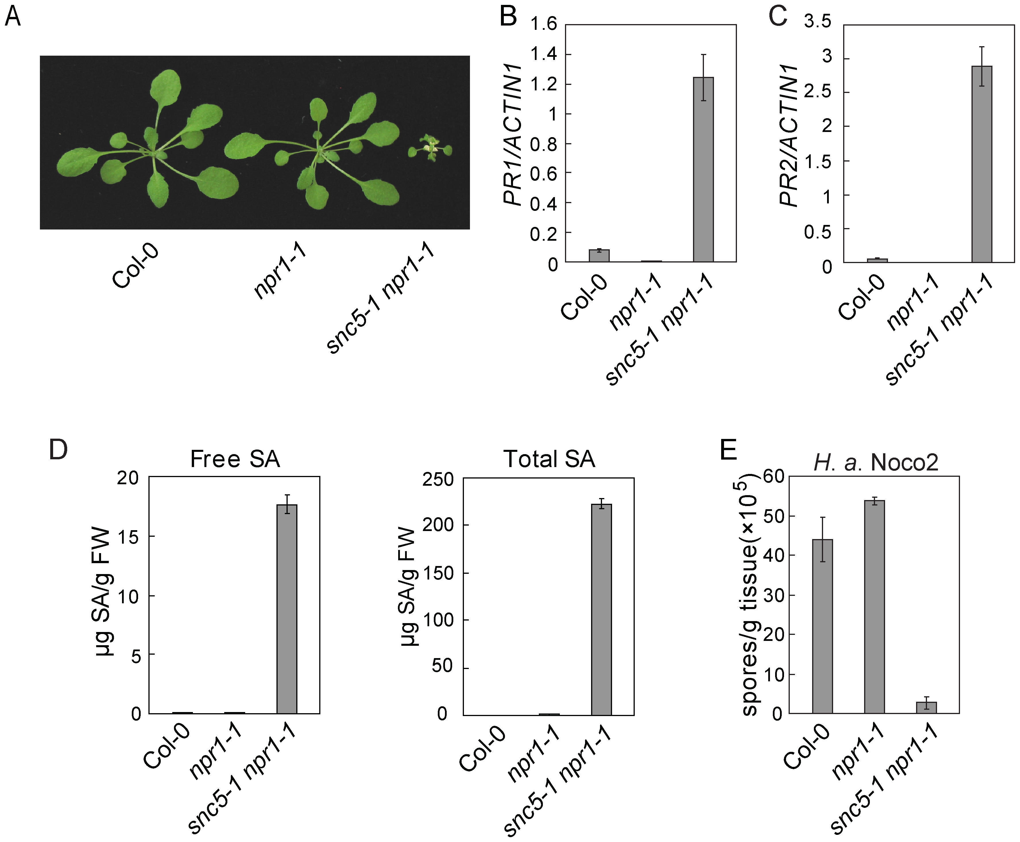 Defense responses are constitutively activated in <i>snc5-1 npr1-1</i>.