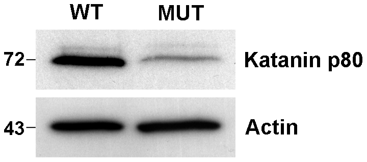 Reduction in katanin p80 protein in haploid germ cells from <i>Katnb1<sup>Taily/Taily</sup></i> mice.