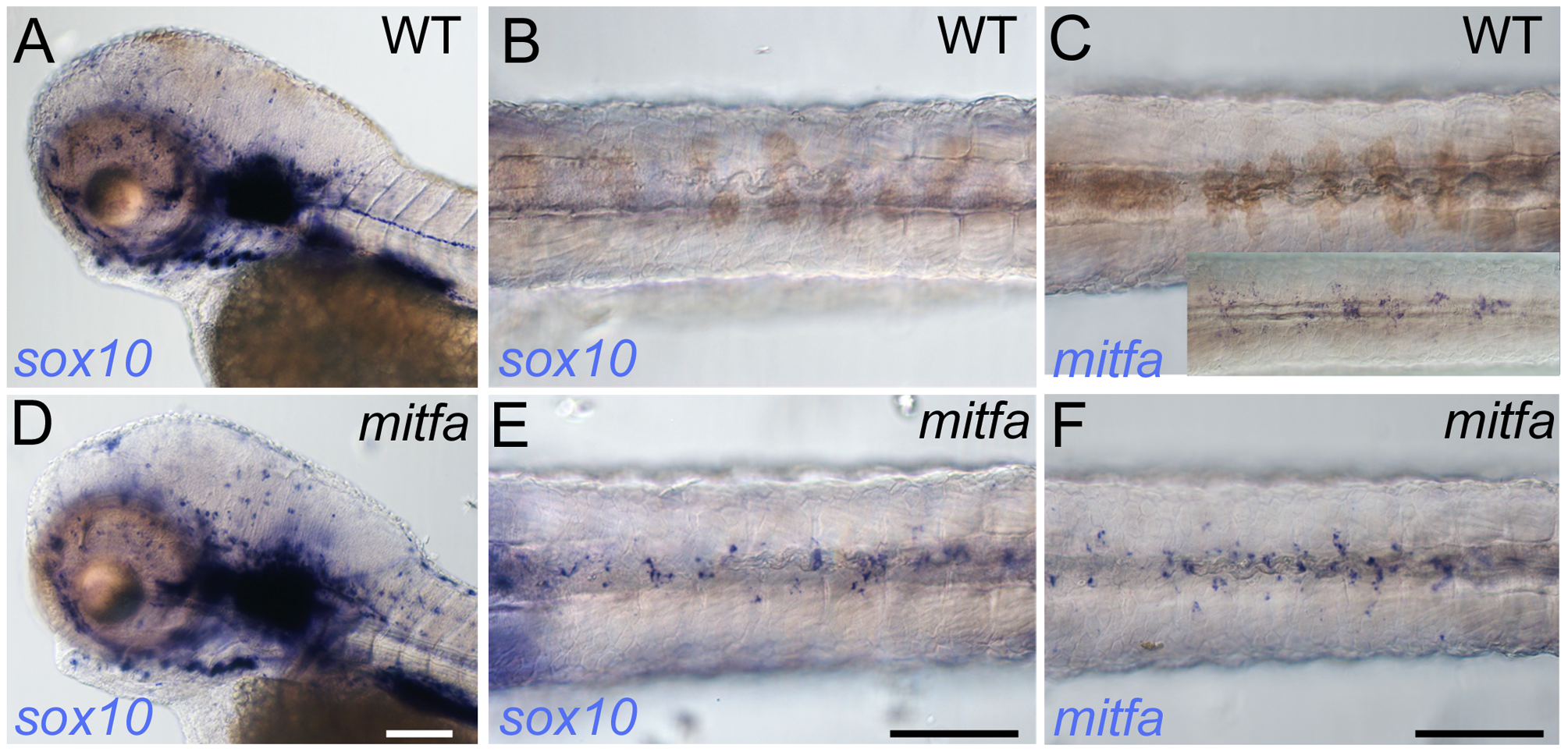 Mitfa-dependent repression of <i>sox10</i> expression in neural crest.