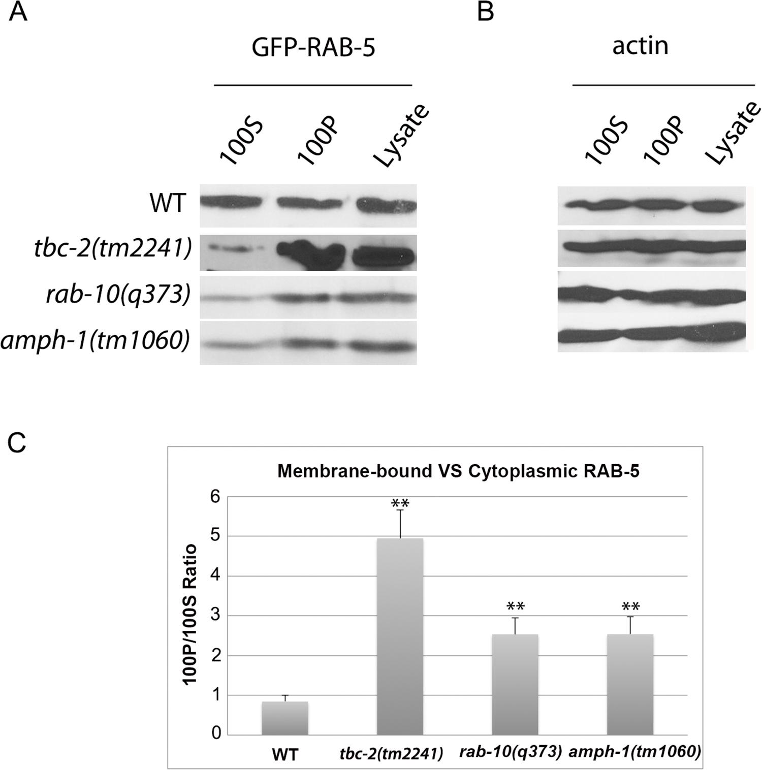 RAB-5 displays elevated membrane-association in <i>tbc-2</i>, <i>rab-10</i> and <i>amph-1</i> mutants.