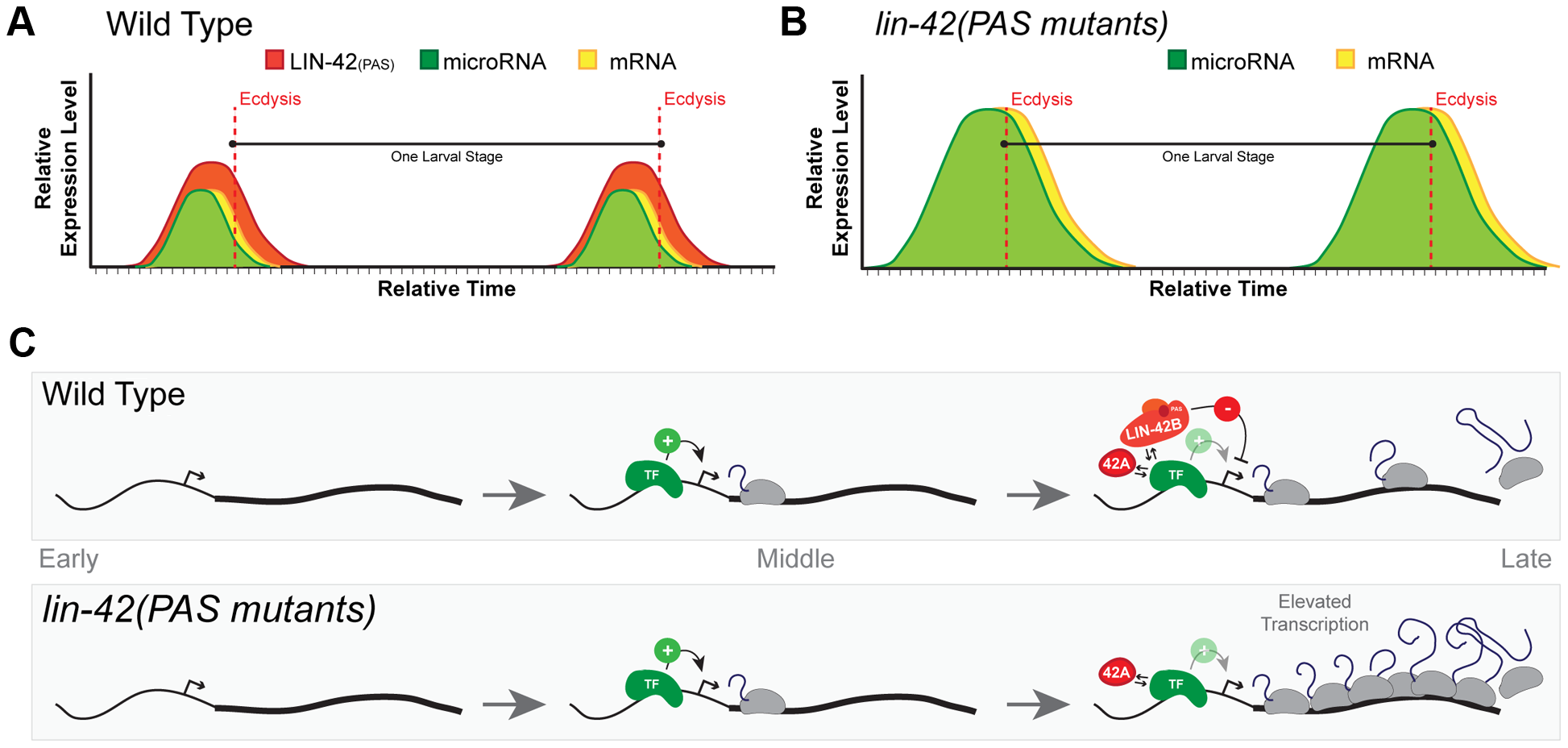 A model for <i>lin-42</i> function in regulating post-embryonic miRNA expression.