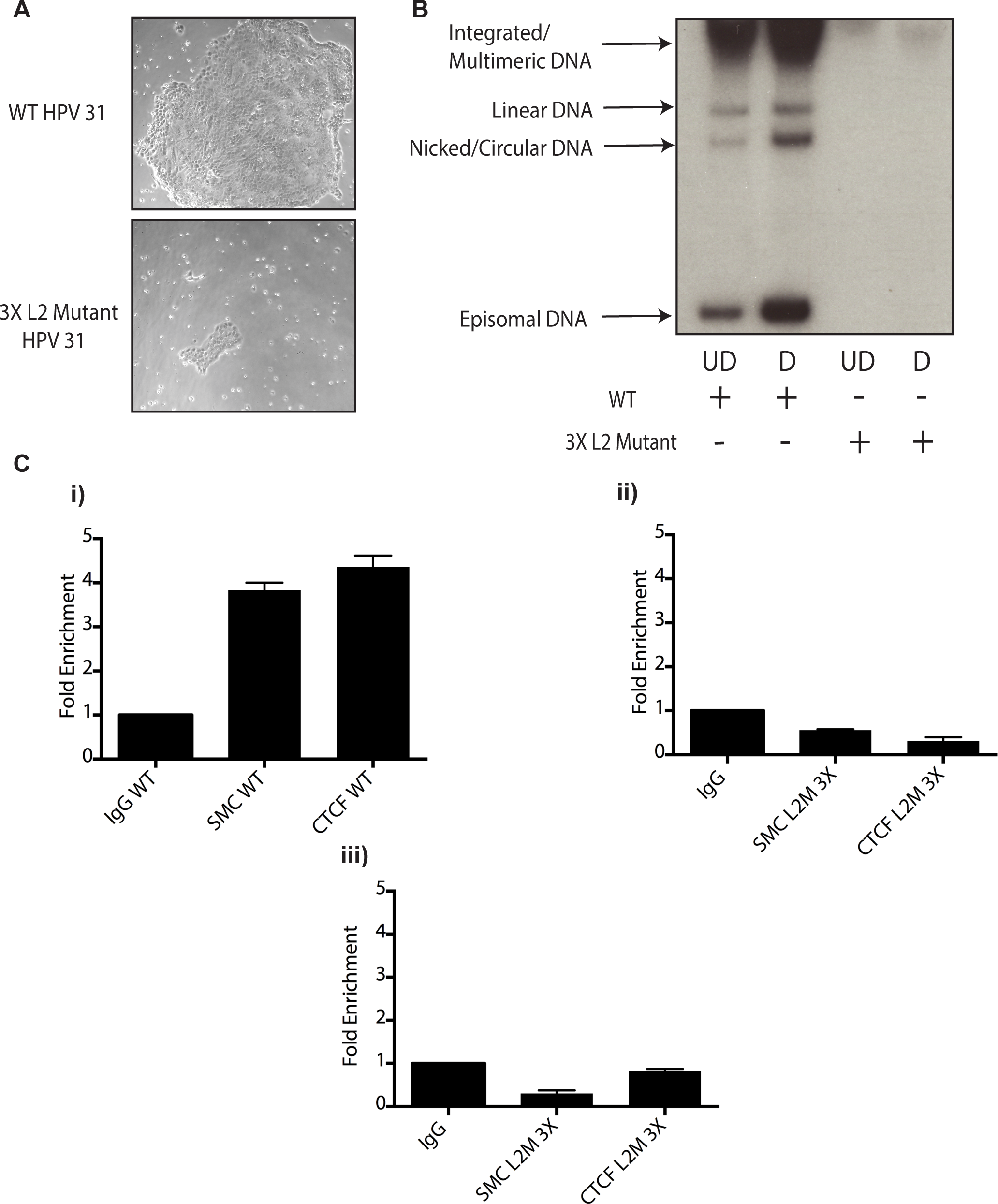 Mutation of 3 CTCF core consensus sequences within the L2 coding region of the HPV 31 genome results in impaired growth, loss of episomes, and rapid integration into the host genome.