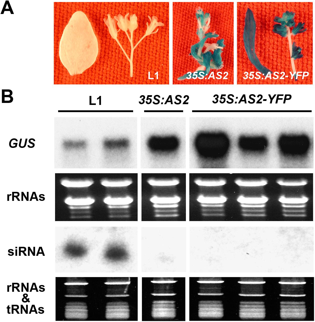 <i>AS2</i> overexpression blocks PTGS in <i>Arabidopsis</i>.