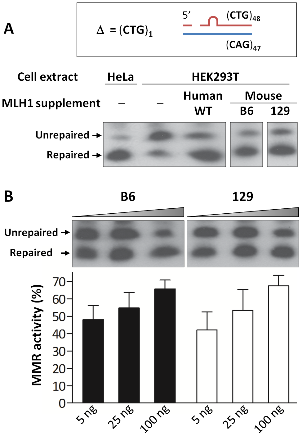 Repair of a single CTG slip-out in a cell-free MMR assay is MLH1 dose-dependent.