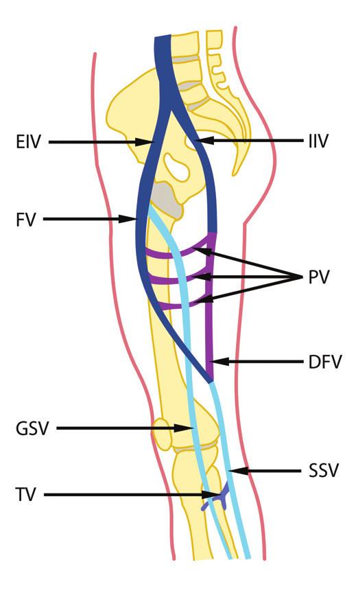 Vývoj žil dolní končetiny u člověka EIV – v. iliaca externa, FV – v. femoralis, GSV – v. saphena magna, TV – vv. tibiales, IIV – v. iliaca interna, PV – vv. perforantes, DFV – v. femoralis dorsalis, SSV – v. saphena parva