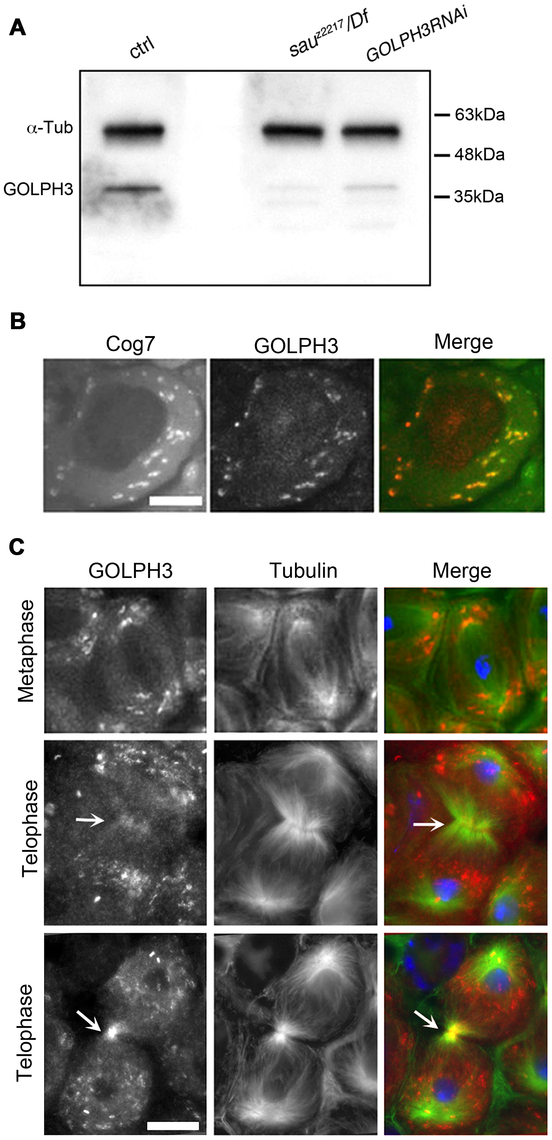 <i>Drosophila</i> GOLPH3 localizes to the cleavage furrow in dividing spermatocytes.