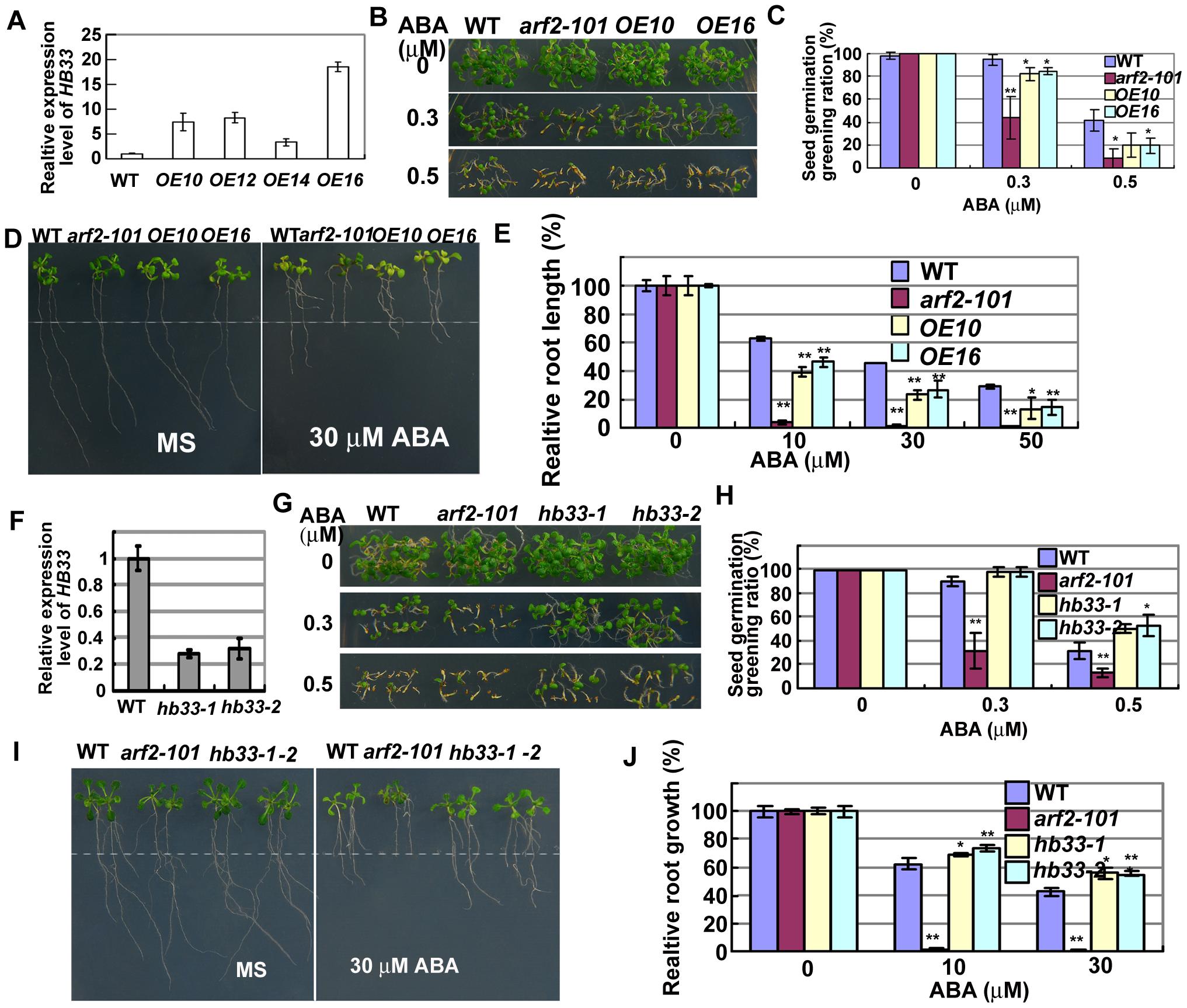 Adverse ABA phenotypes of transgenic plants overexpressing <i>HB33</i> and reducing <i>HB33</i> by RNAi.