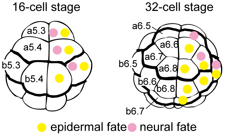 Fate maps of the animal hemisphere of 16- and 32-cell embryos.