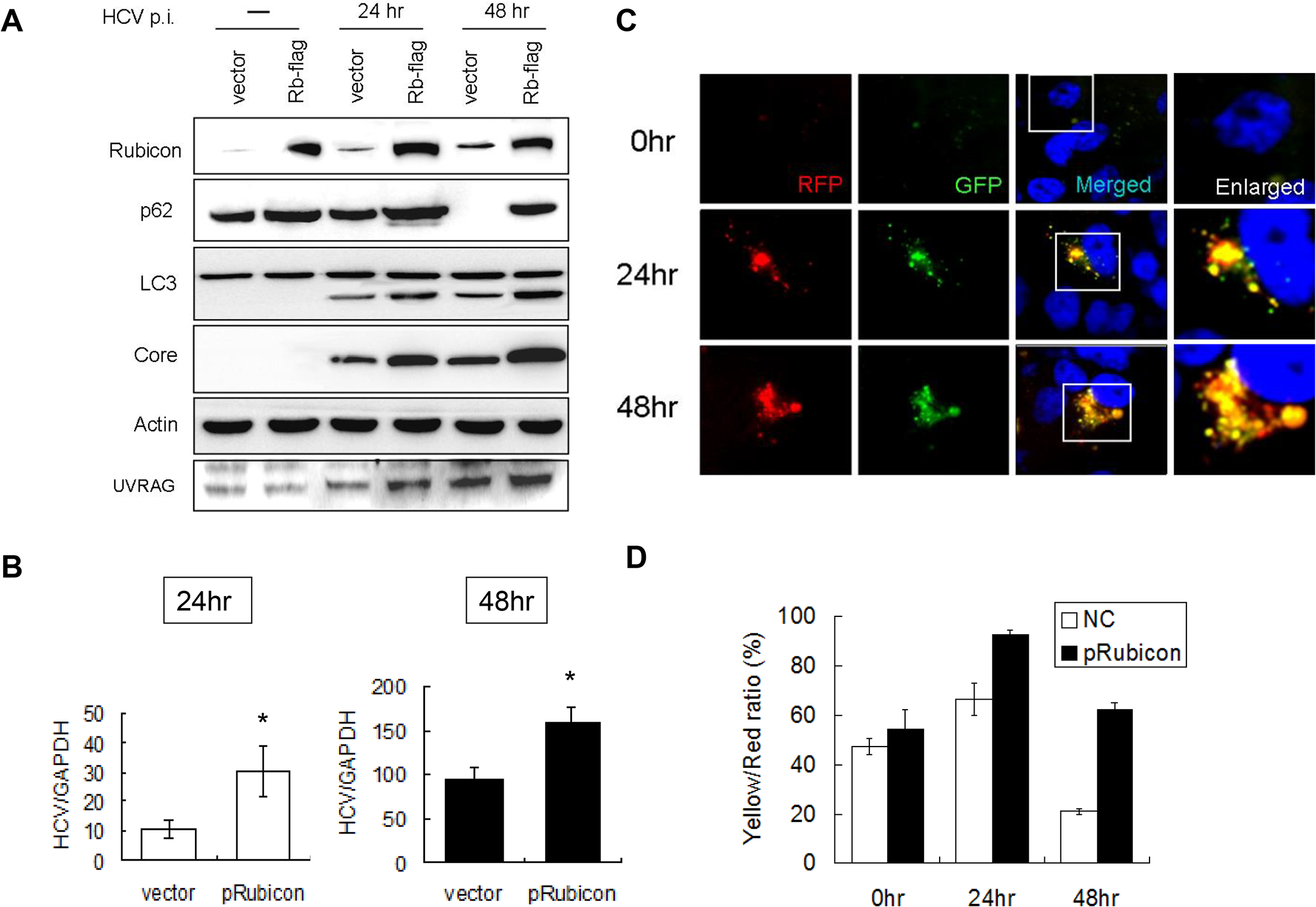 Over-expression of Rubicon inhibited the maturation of autophagosomes and enhanced HCV RNA replication.