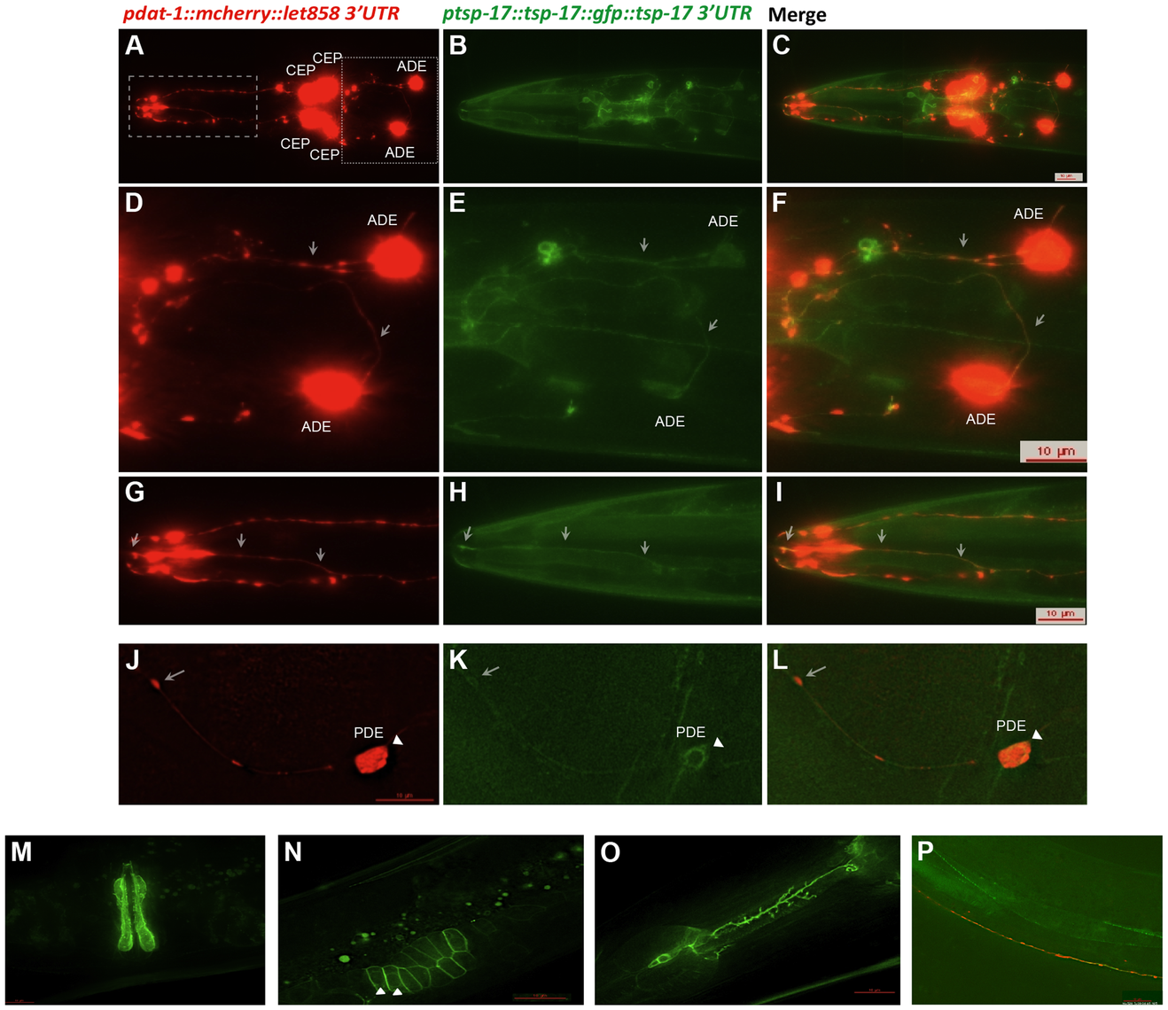 TSP-17::GFP expression.