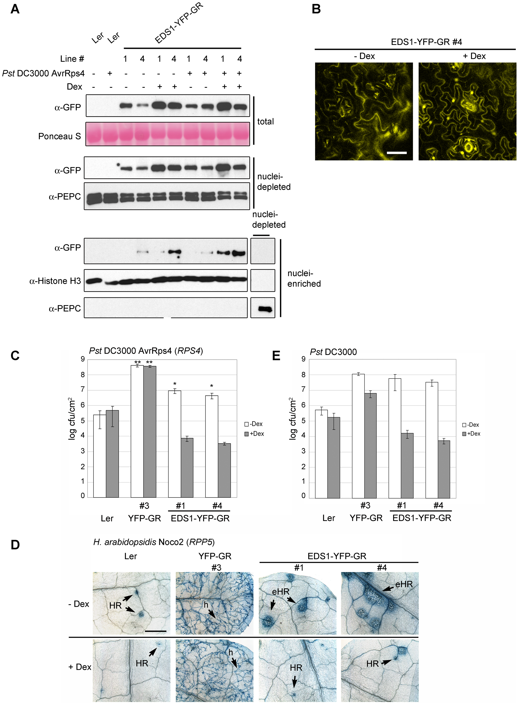 Nuclear release of EDS1-YFP-GR by Dexamethasone (Dex) treatment leads to protein accumulation in nuclei and enhanced disease resistance.