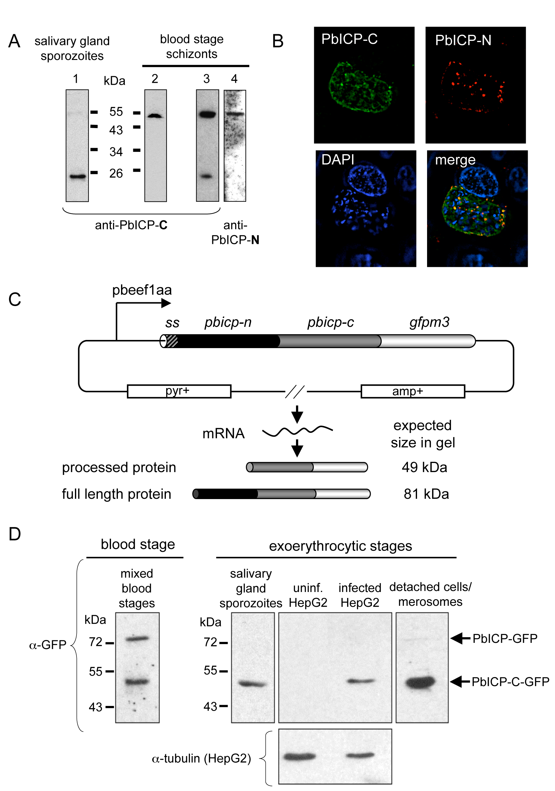 PbICP is posttranslationally processed in the blood stage and exoerythrocytic stages.