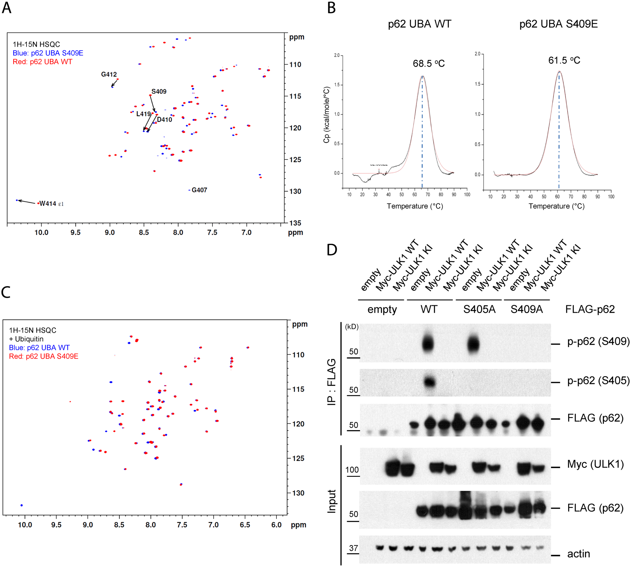 Phosphorylation of S409 destabilizes the UBA dimer interface and regulates phosphorylation of S405.
