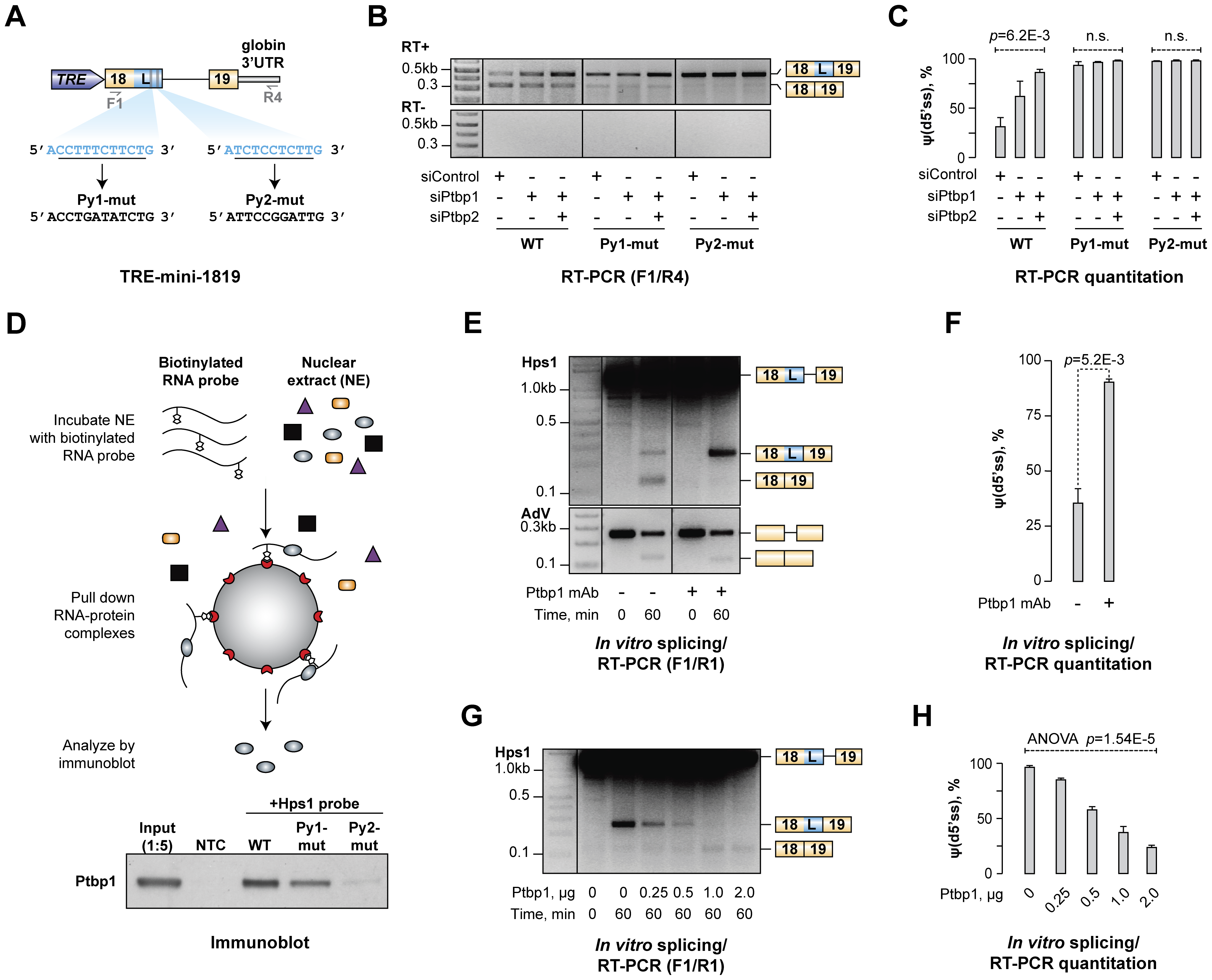 Ptbp1 binds to pyrimidine-rich sequences between u5′ss and d5′ss and directly regulates Hps1 A5C.