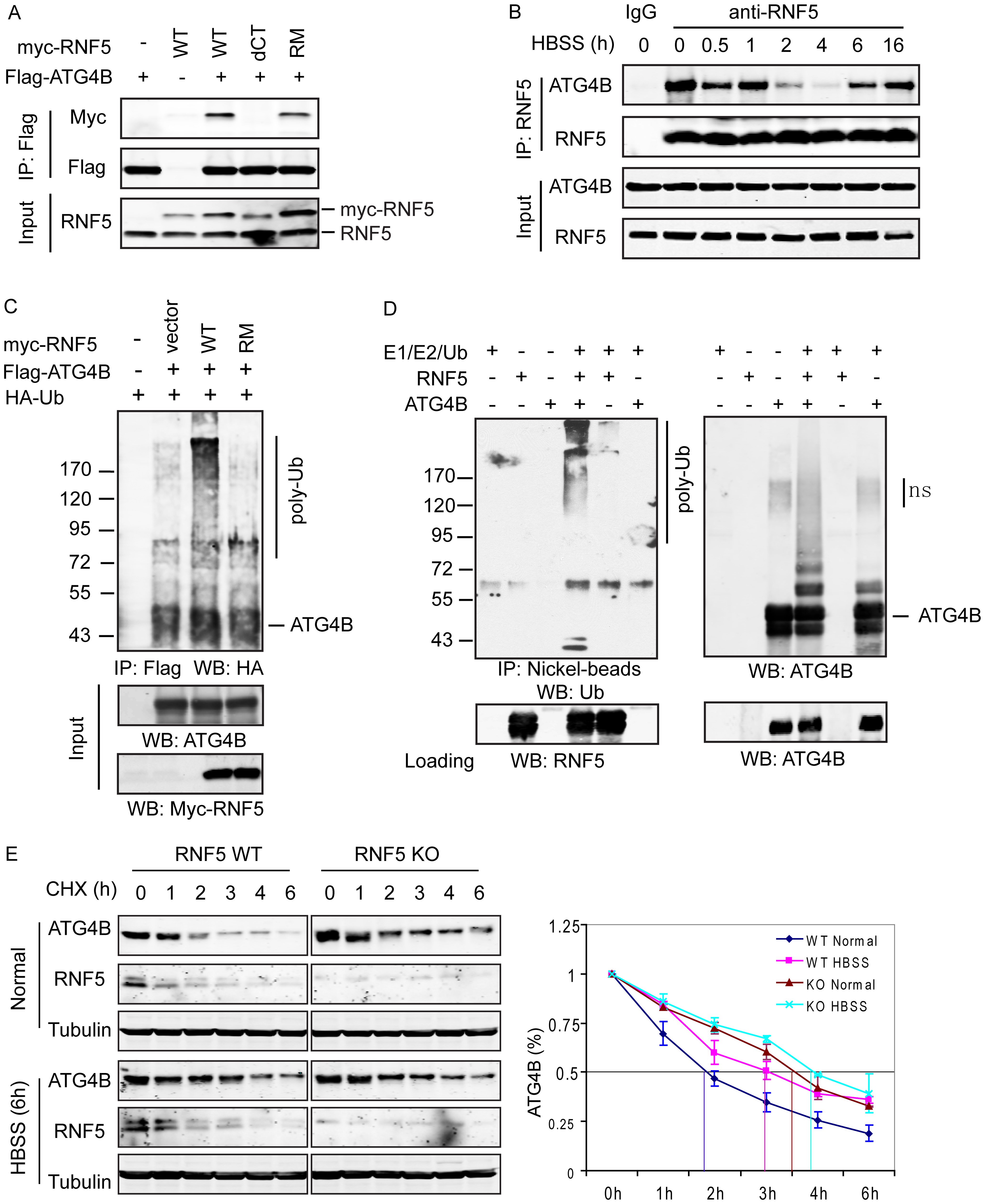 RNF5 interacts with ATG4B and mediates its ubiquitination and degradation.