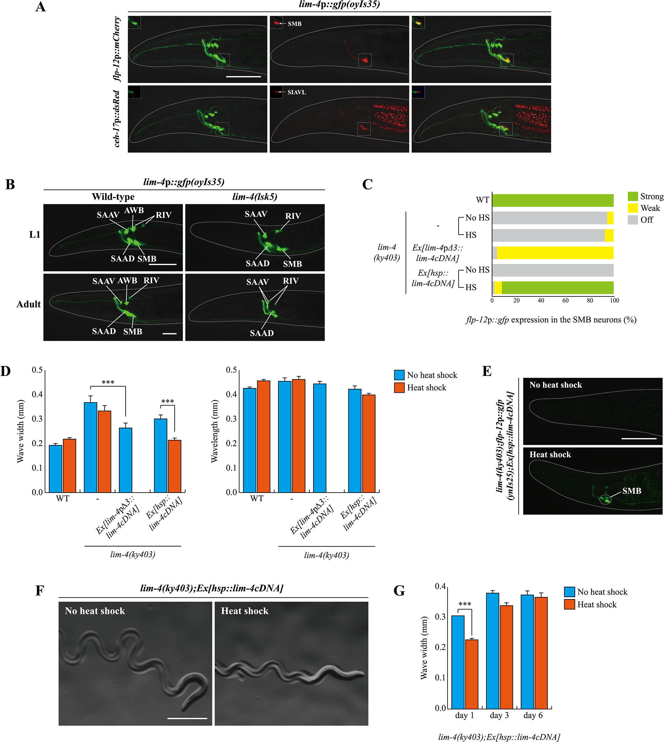 <i>lim-4</i> is expressed in and acts in the SMB neurons and its expression is autoregulated.
