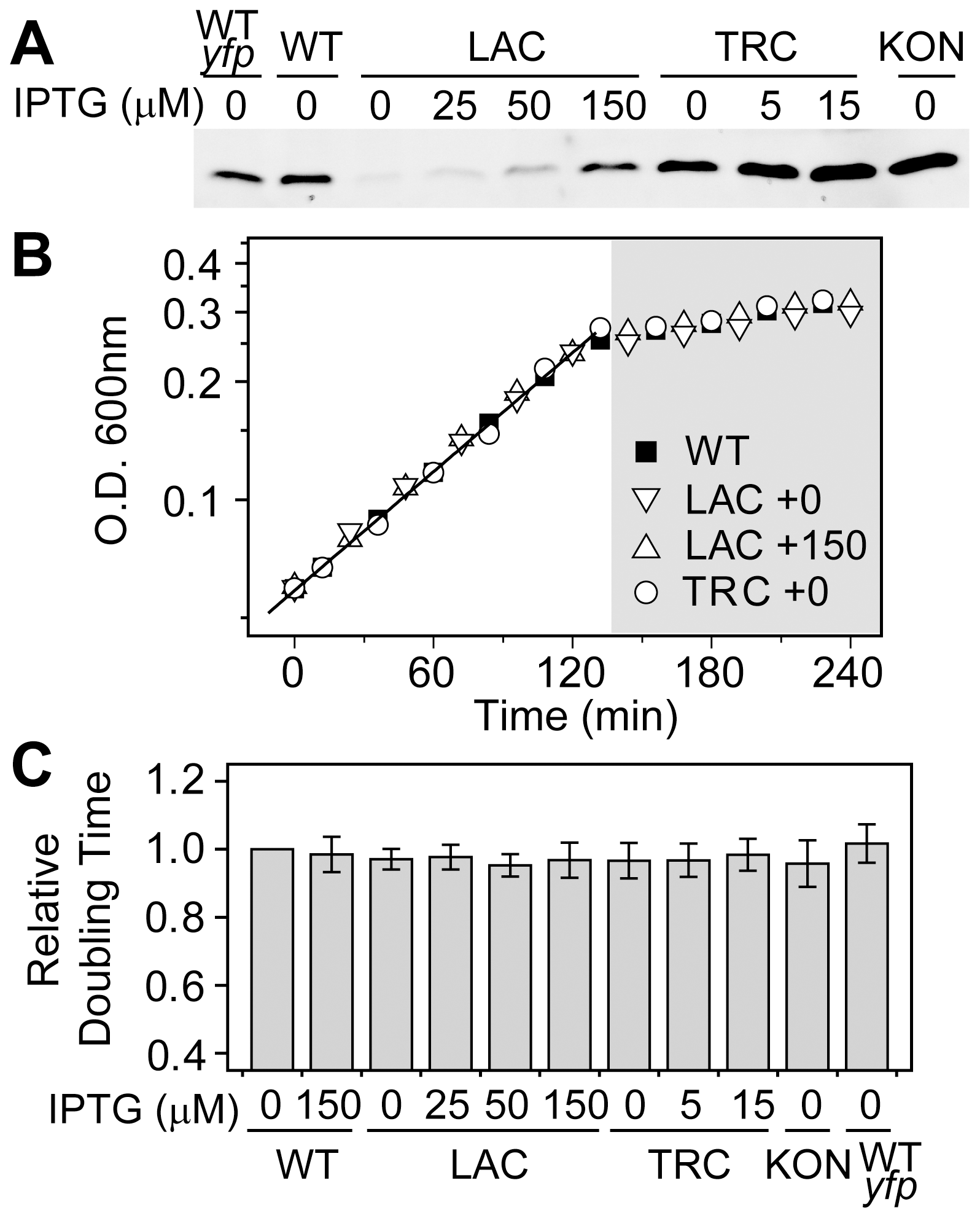 Growth rates in batch cultures are similar for the autoregulated WT and constitutive strains.