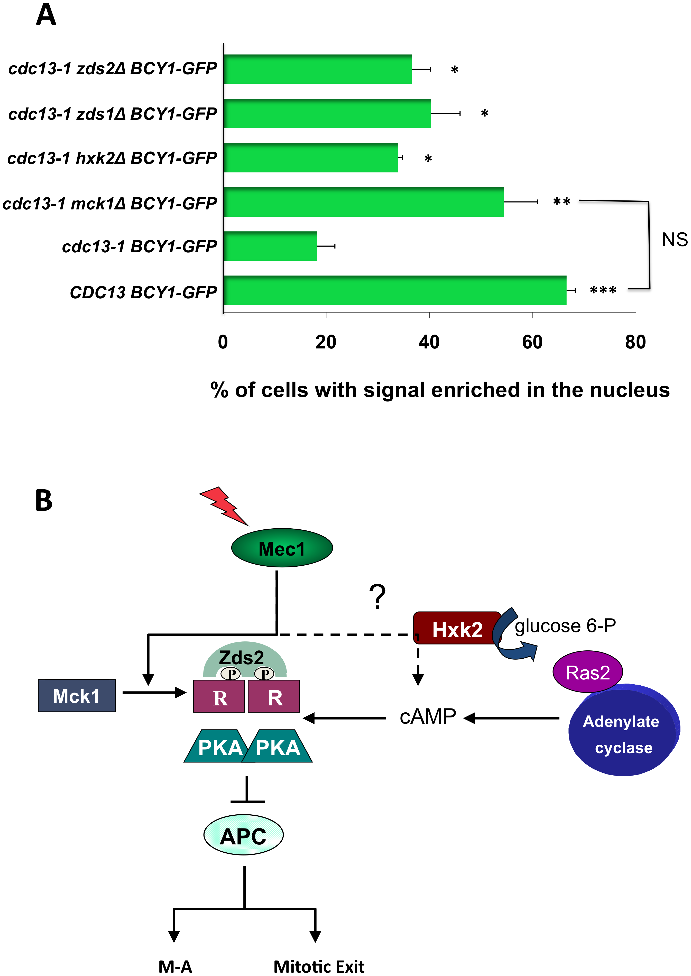 Mck1, Zds1, Zds2, and Hxk2 are required for R subunit re-localization after DNA damage.