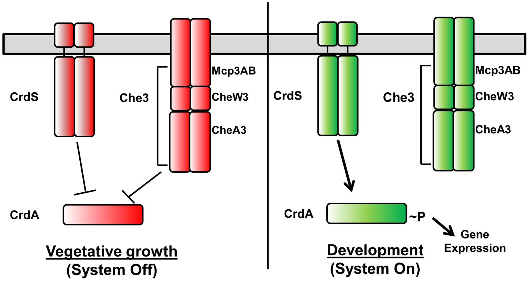 Model for Cross Regulation of CrdA by CrdS and the Che3 Chemosensory System.
