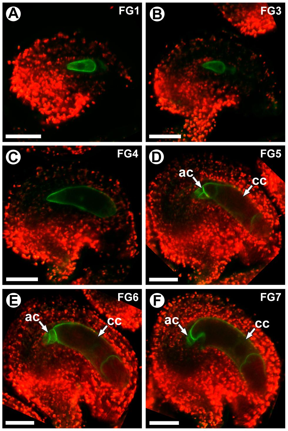 <i>CKI1</i> expression is restricted to the chalazal region during the FG5 transition.