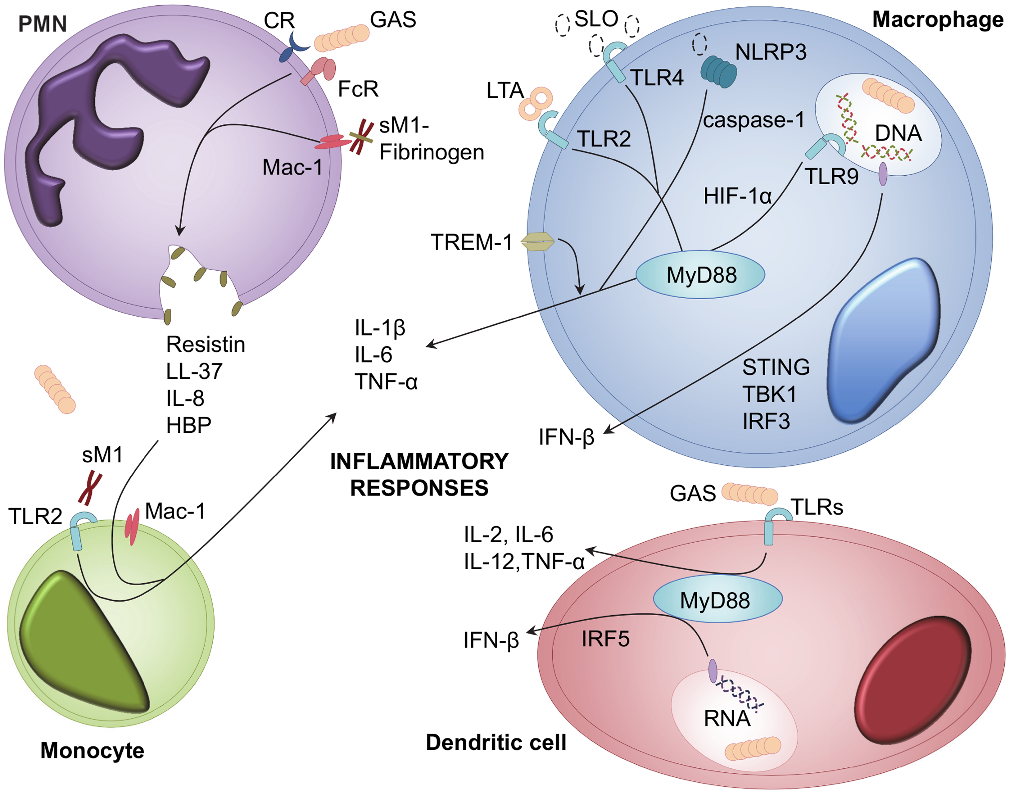 Cellular receptors and signalling pathways involved in GAS recognition and inflammatory mediator release.