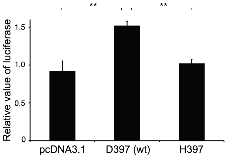 Mediation of AMH signaling by wild-type and mutated human AMHR2 (His397) constructs.