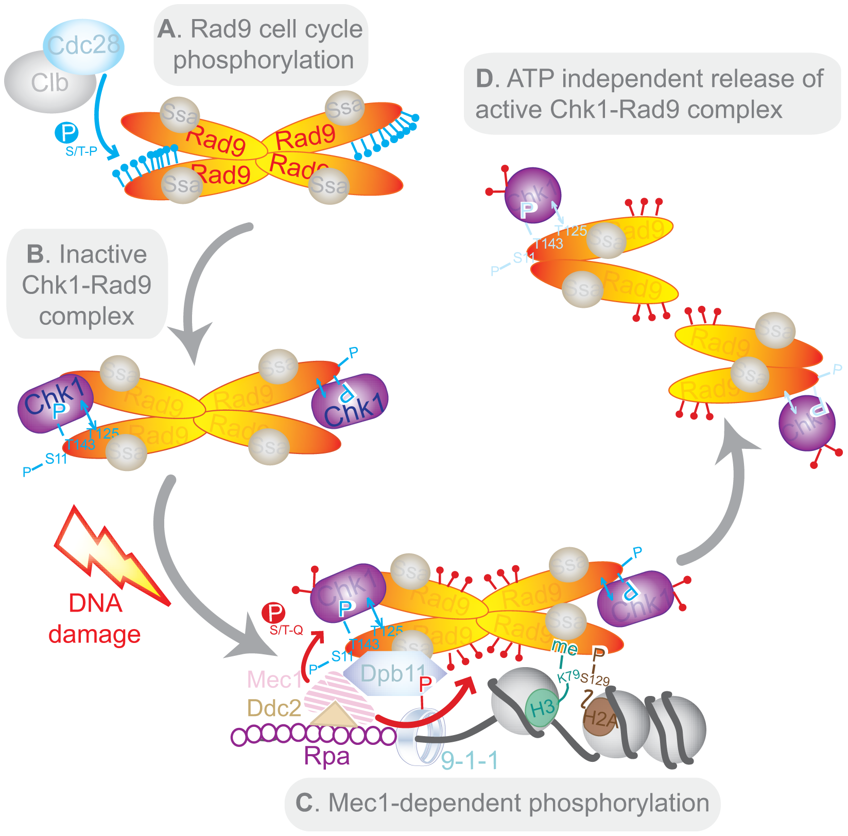Model of Chk1 activation in response to DNA damage.