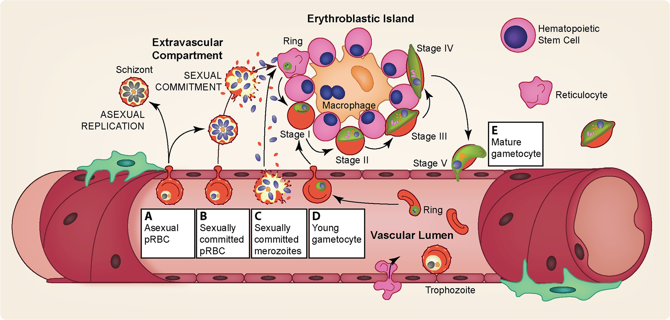 Gametocyte sequestration in the bone marrow.