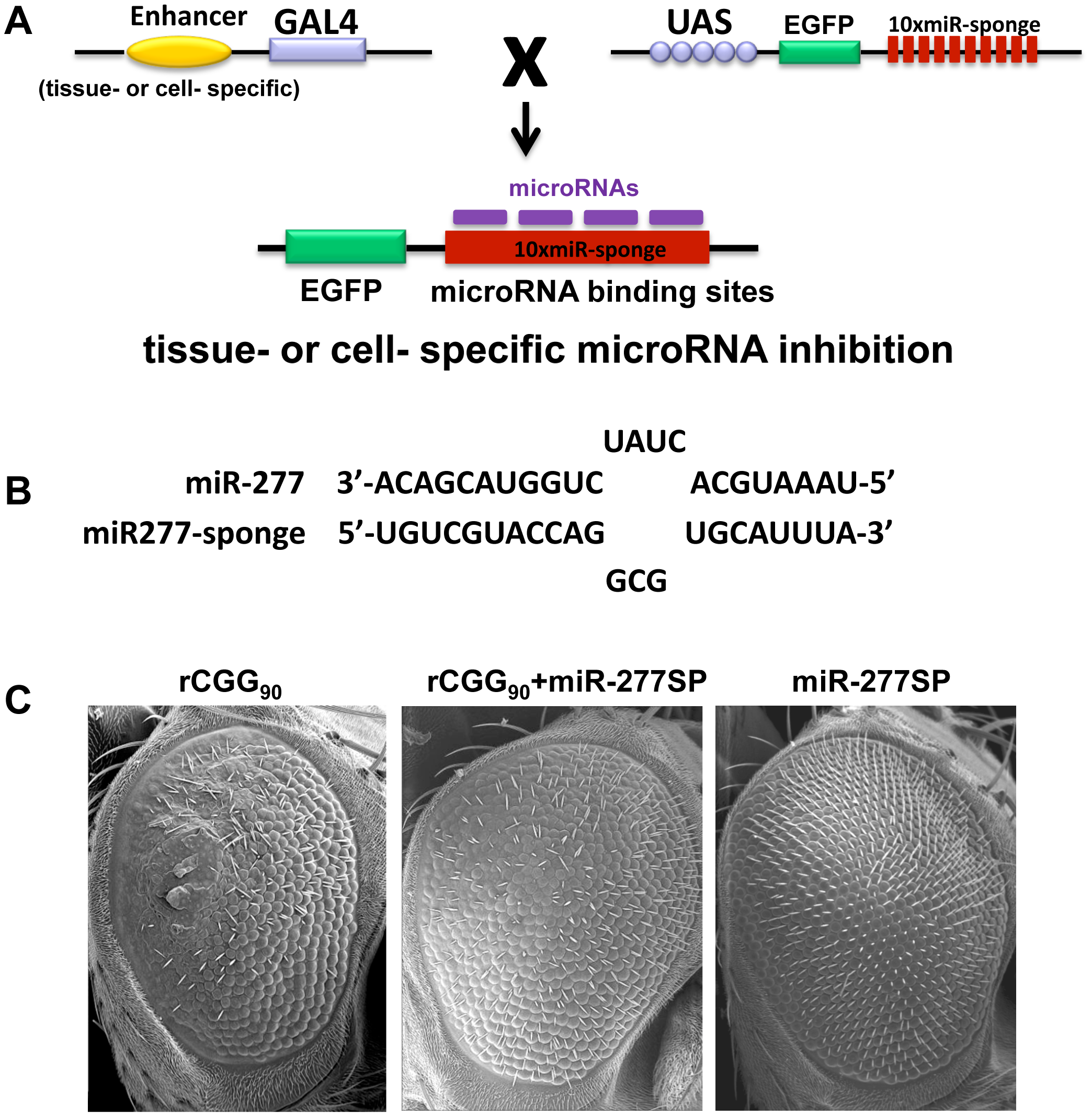 Blocking the activity of miR-277 suppresses rCGG-mediated neurodegeneration.