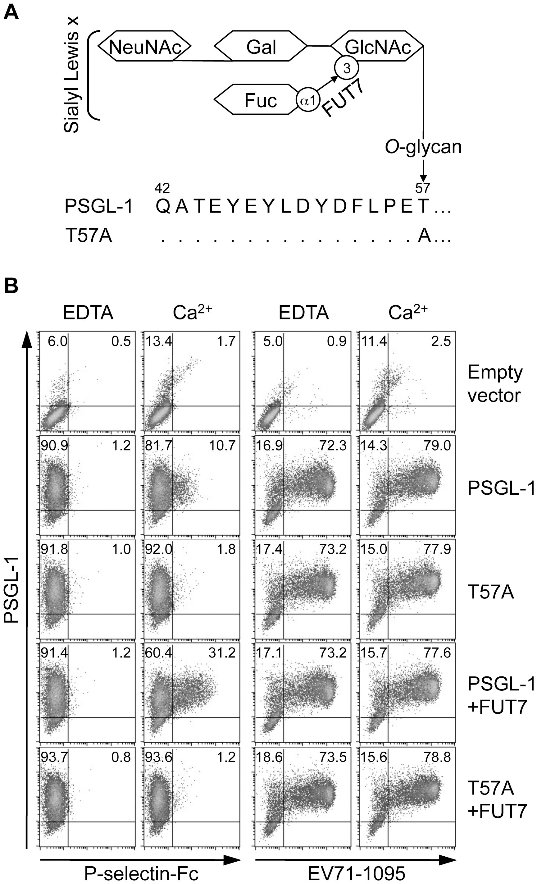 PSGL-1 <i>O</i>-glycosylation at T57 is not necessary for binding to EV71-1095.