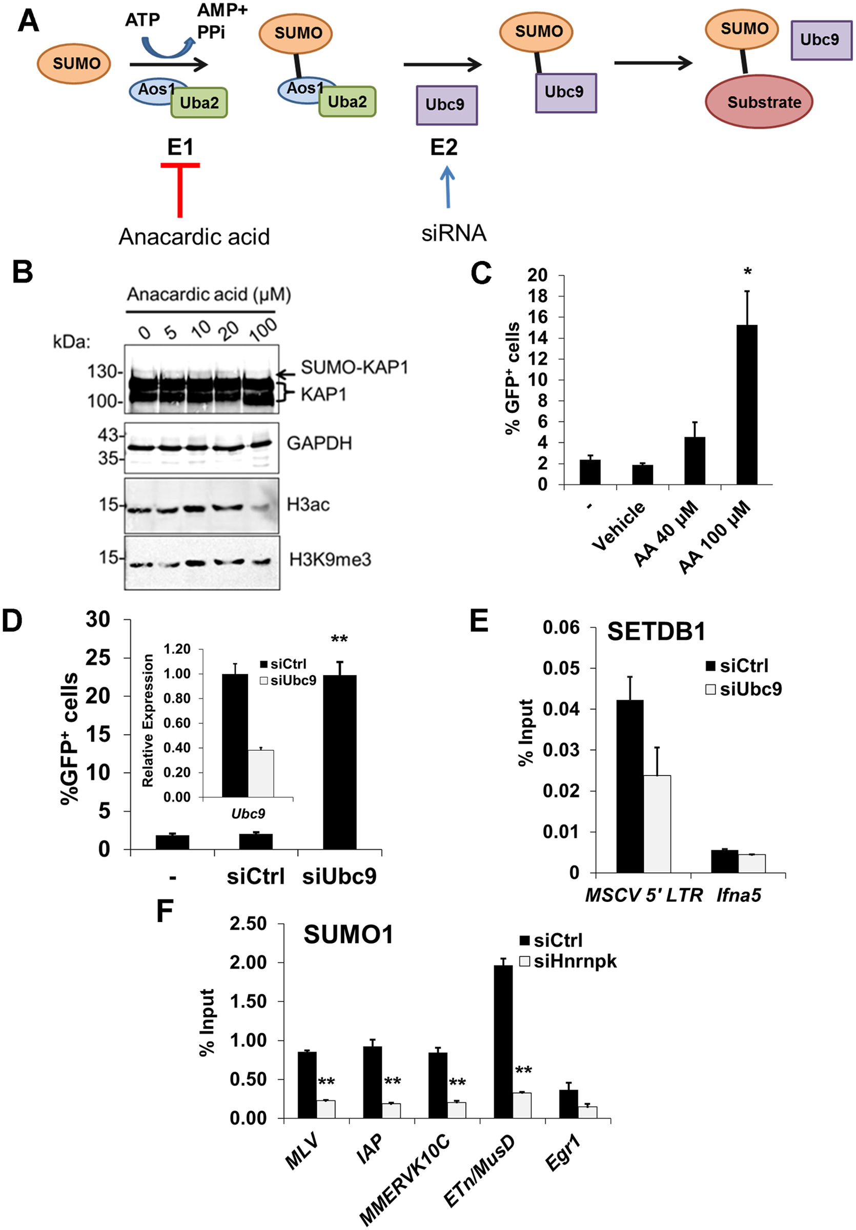 SUMOylation on proviral chromatin is required for SETDB1 recruitment and is compromised upon hnRNP K knockdown.